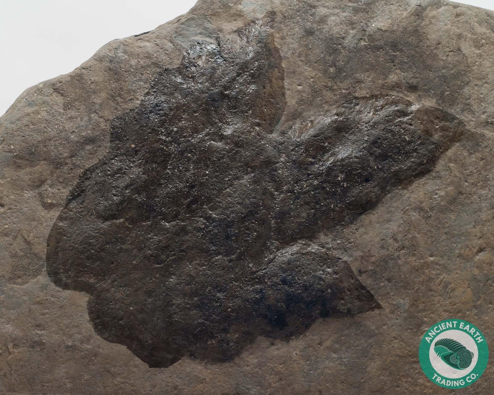 Giant Eubrontes Dinosaur Footprints Claw Track Fossil