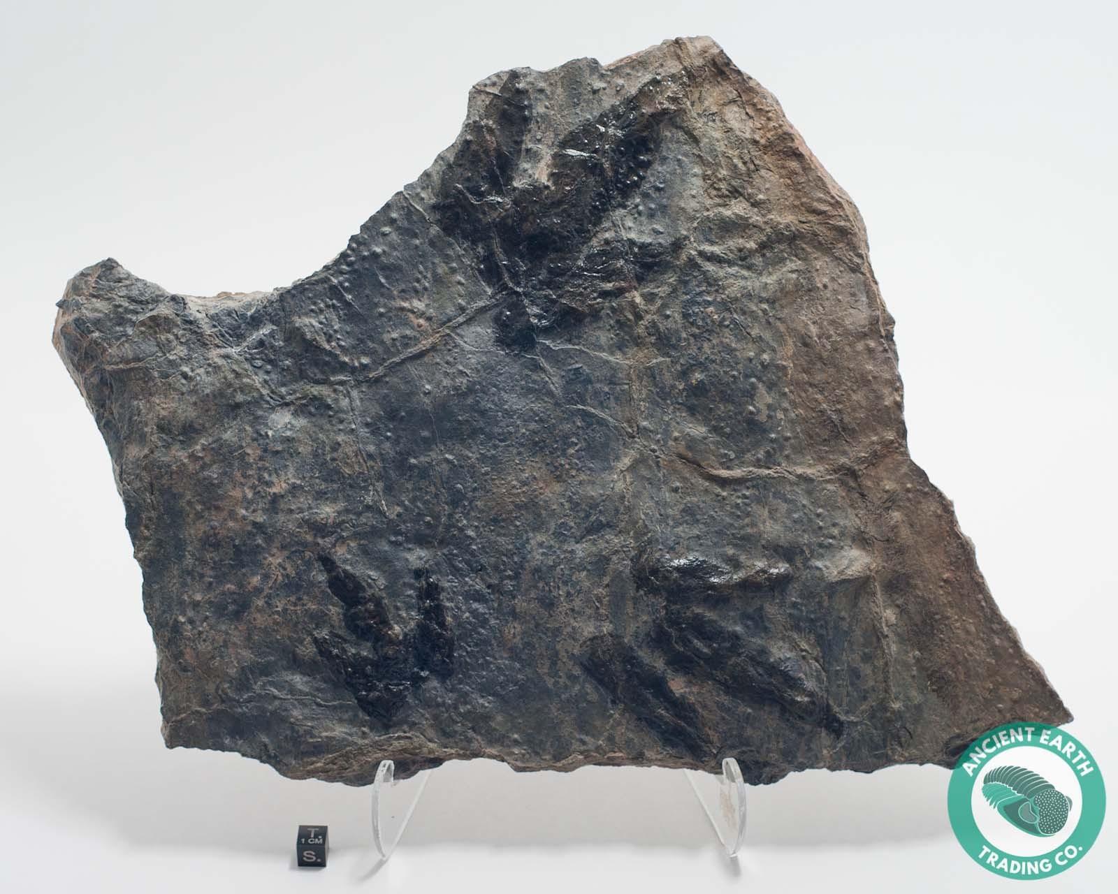 Great 3 Dilophosaurus Dinosaur Footprints Claw Track