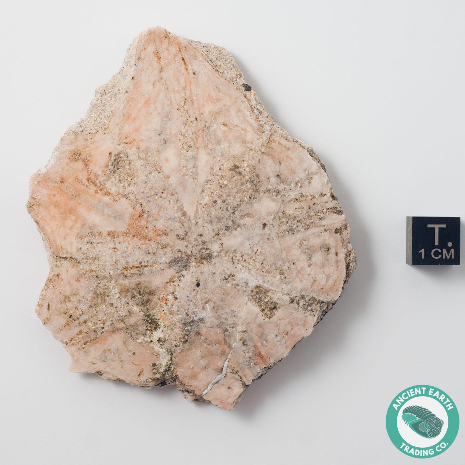 Star Rug Santa Barbara: 3.12 In Vaquerosella Star Shape Sand Dollar Fossil Partial