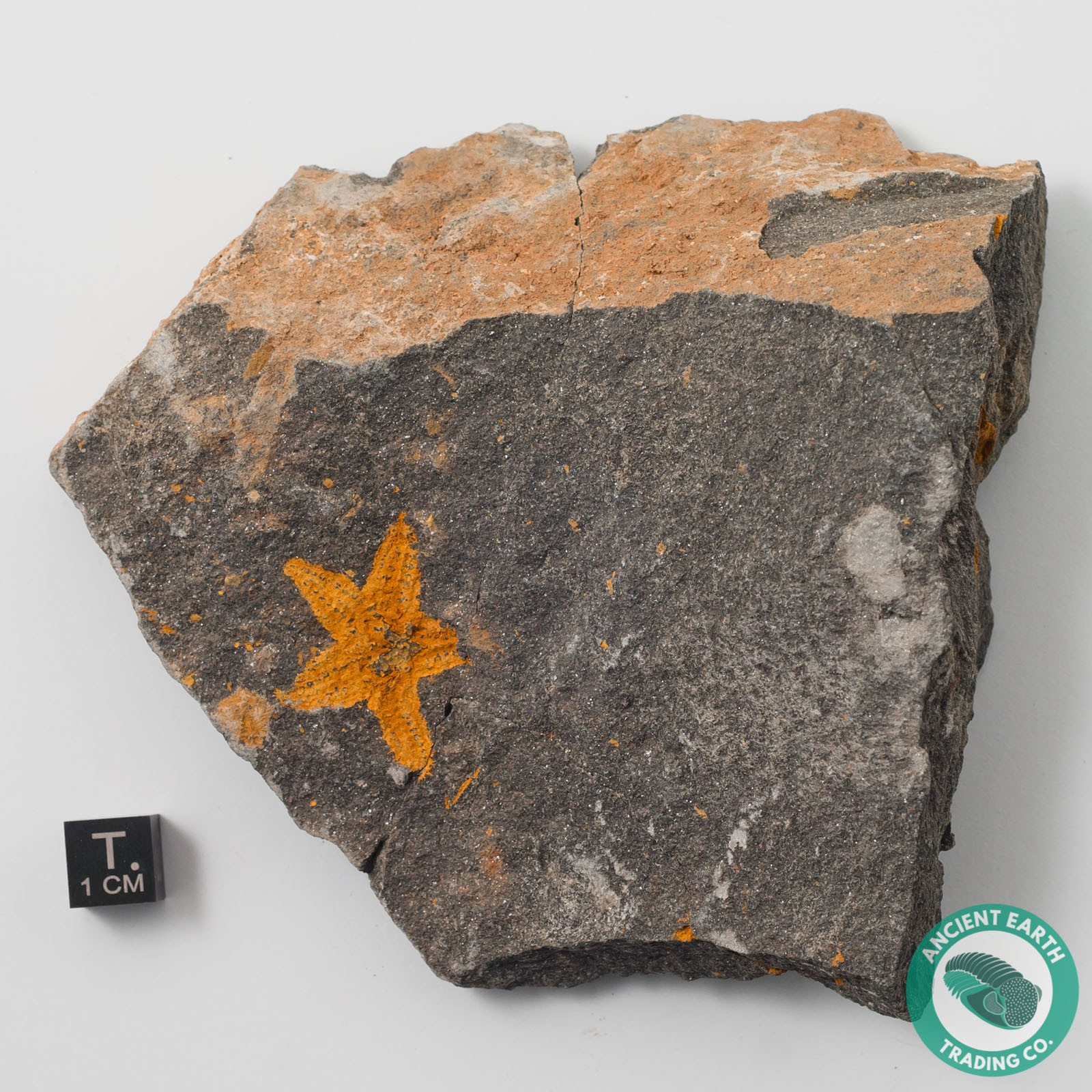 1.21 in. Starfish Fossil Stenaster - Morocco - Starfish ...