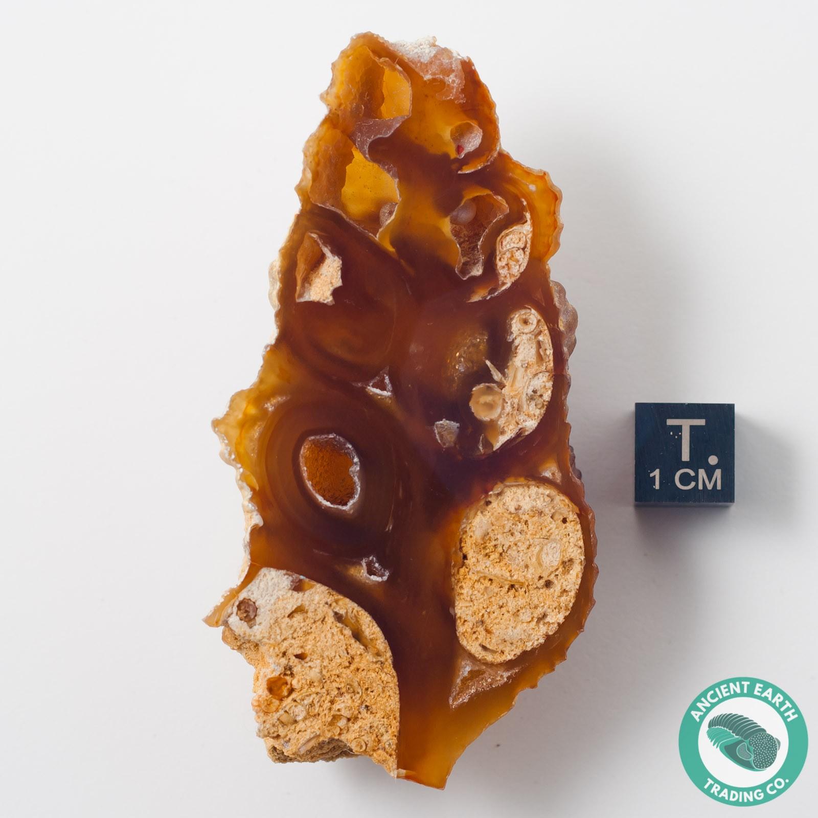 2.95 in Carnelian Agate Sea Snail Gastropod - Western Sahara