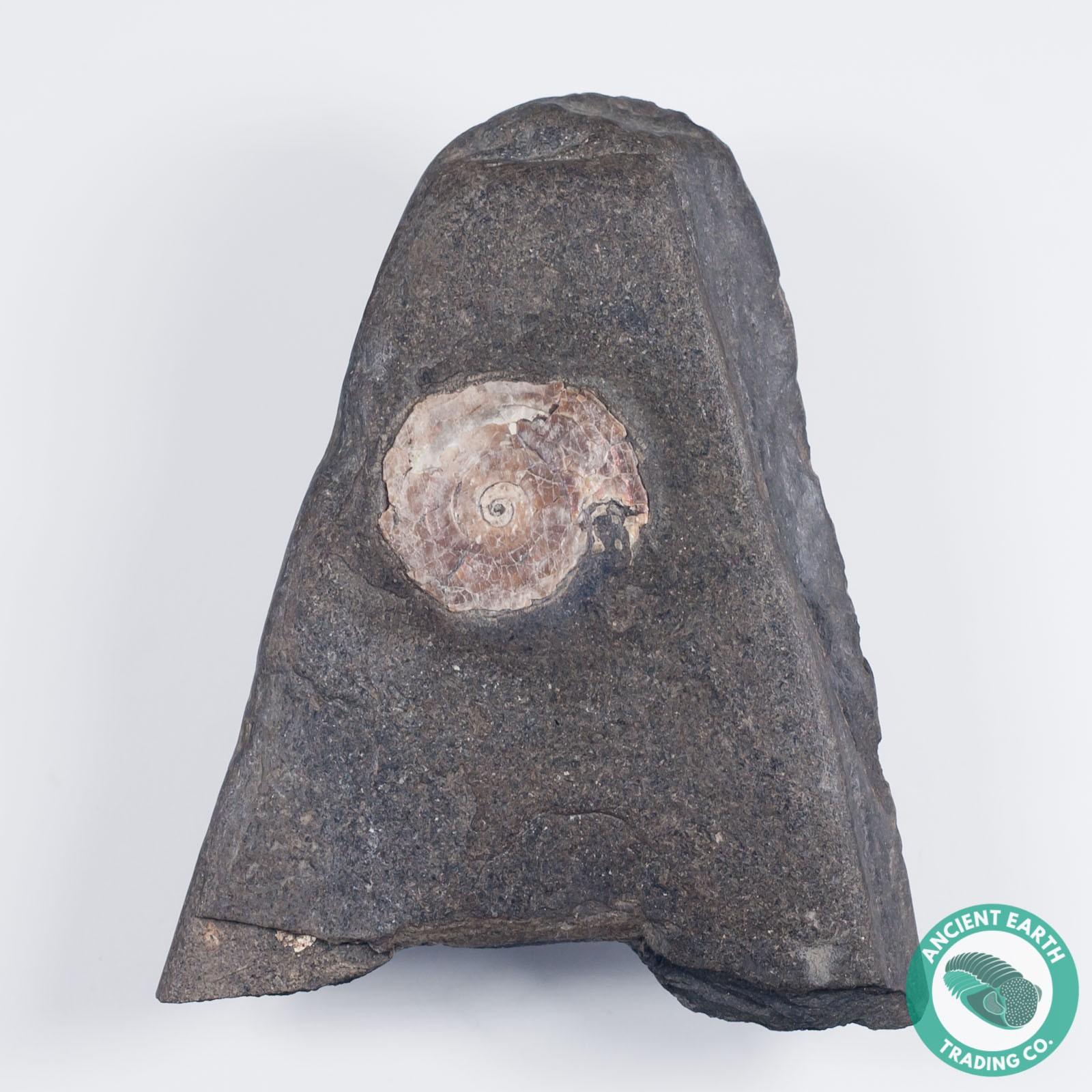 1.02 in Bright Psiloceras Ammonite - England