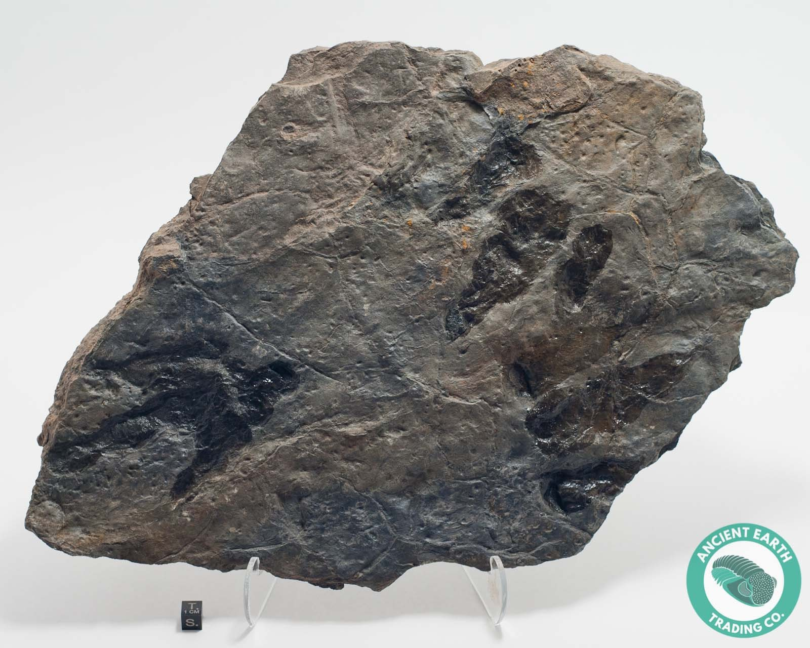 Multiple 3 Dilophosaurus Dinosaur Footprint Claws Track Fossil Grallator - New Jersey