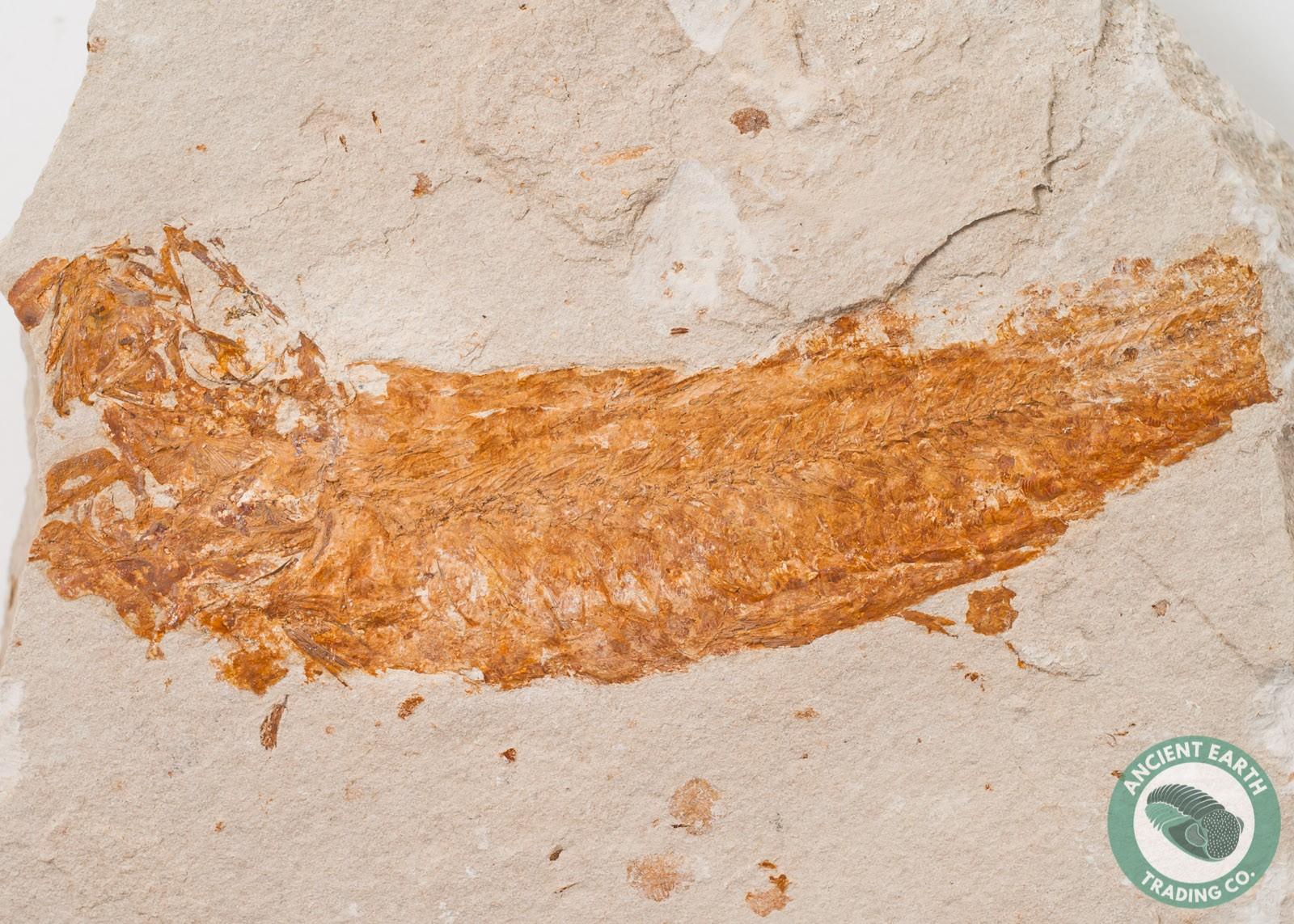 6.15 in. Partial Ganolytes Fossil Sardine - California