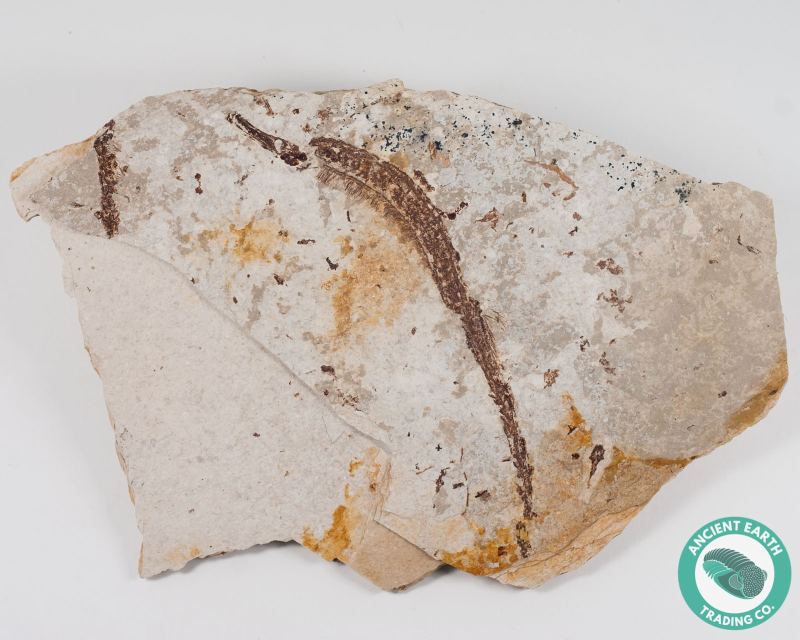 5.82 in Pipefish Fossil - New Locality - California