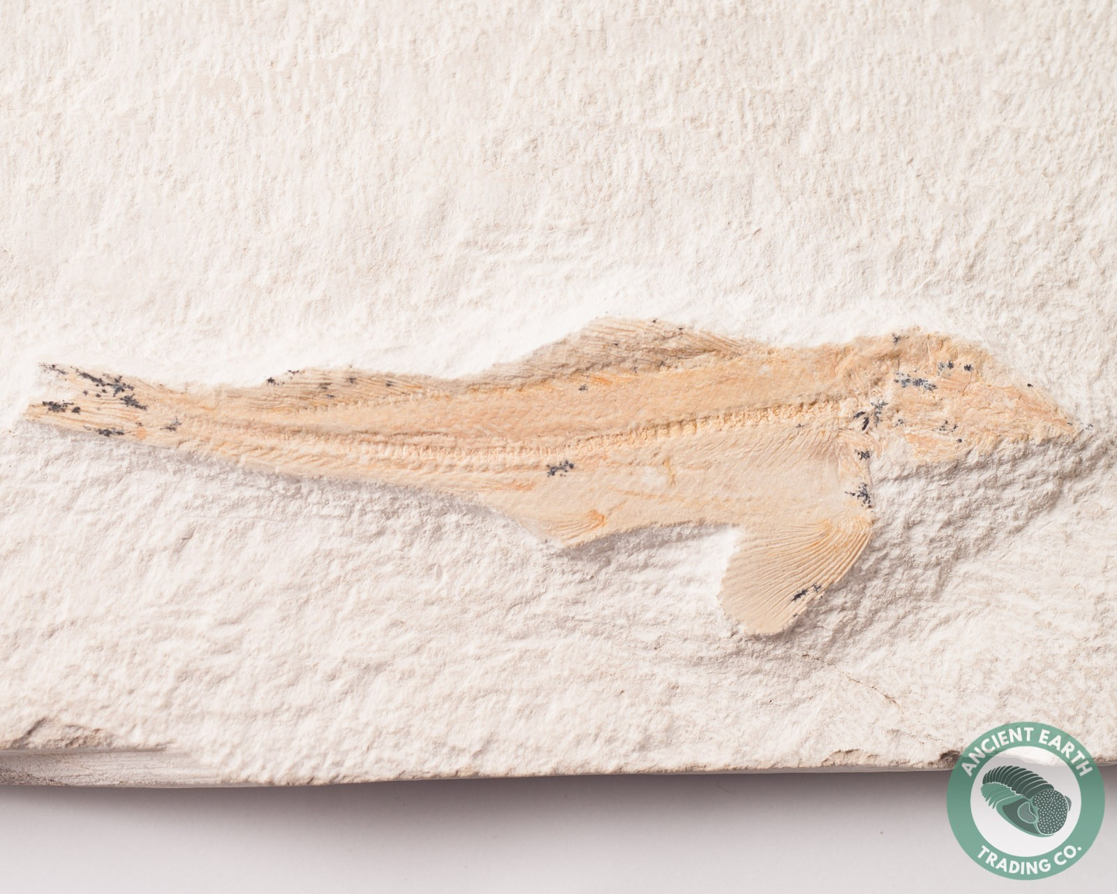3.7 in. Bowfin Fossil Fish Agoultichthys - Morocco