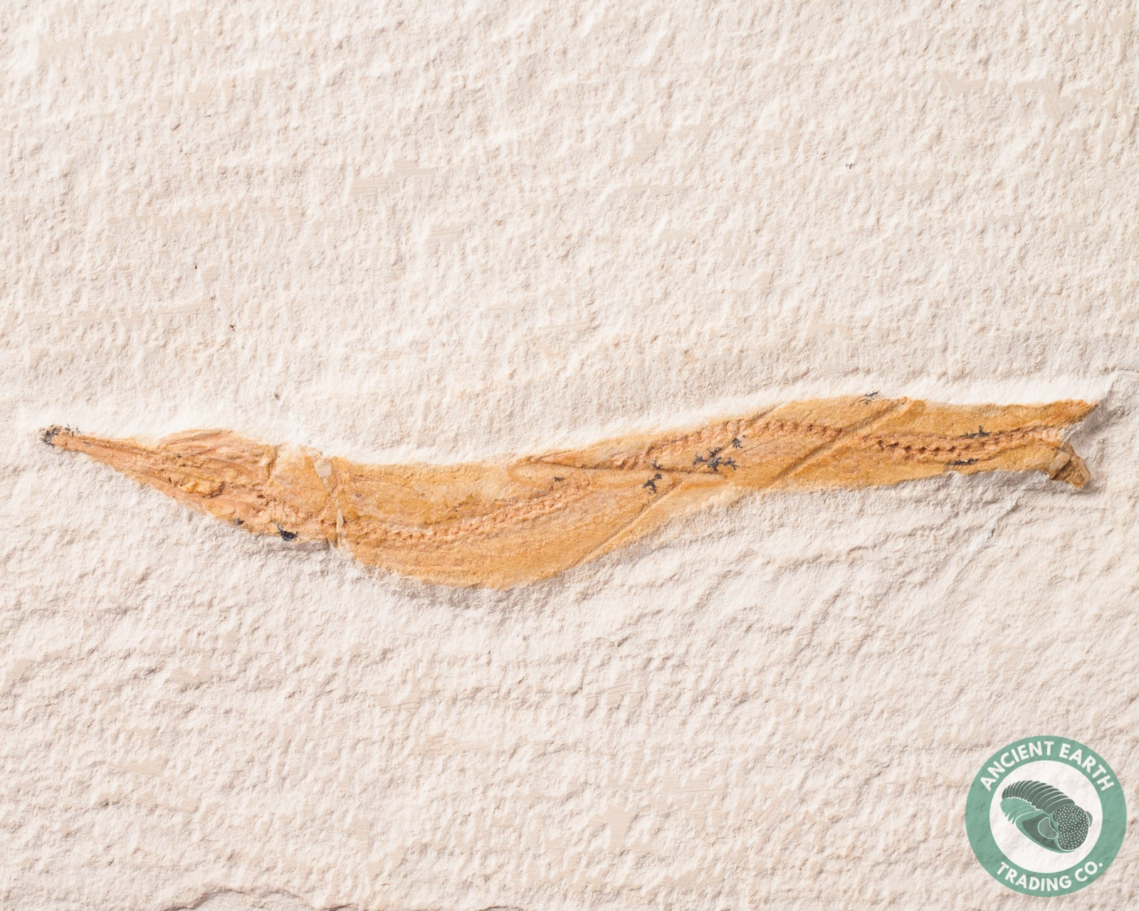 """3.28 in. Rare Needle Fish Fossil """"Throat Whale"""" Cf. Dercetis - Morocco"""