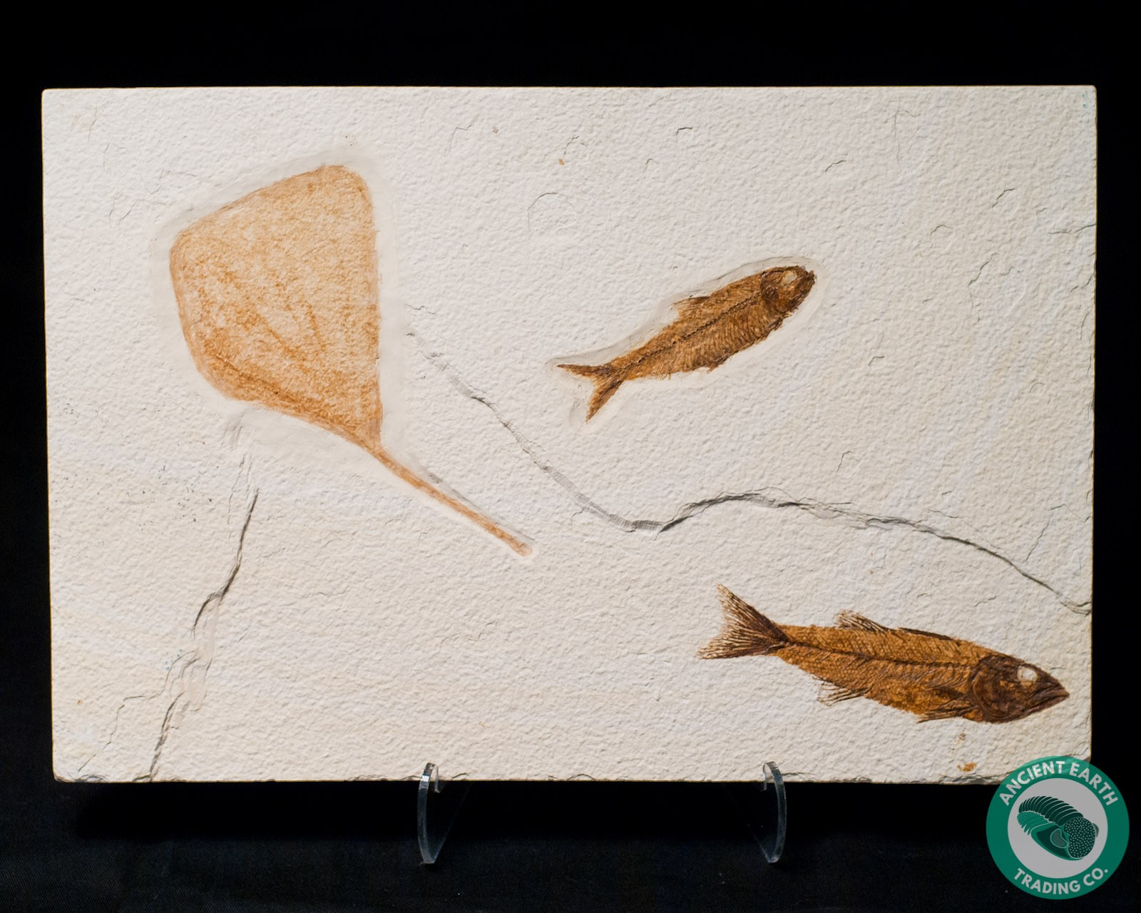 A+ Mioplosus with Knightia + Poplar Leaf - 14.4 x 9.5 in.