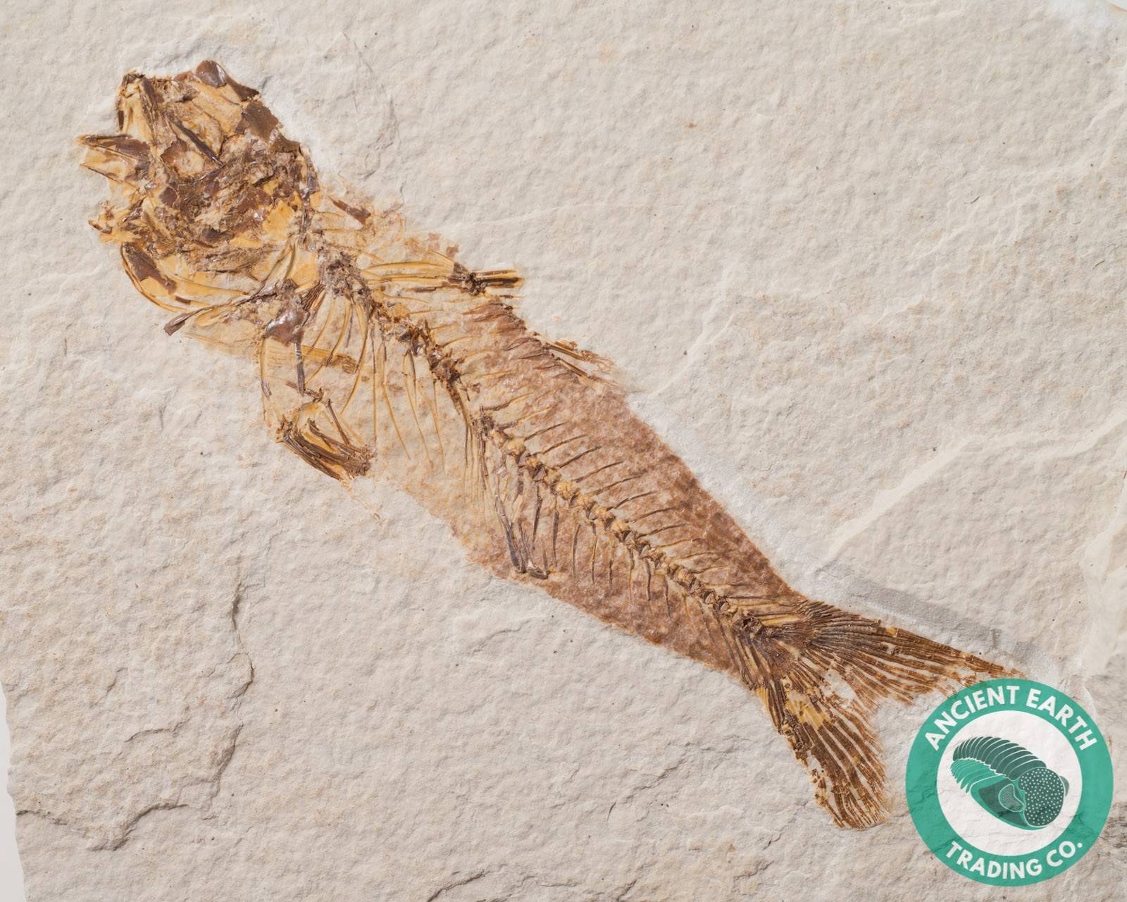 Rare Amphiplaga Trout Fossil Fish from Green River Fm Wyoming - 4.3 x 1.2 in.