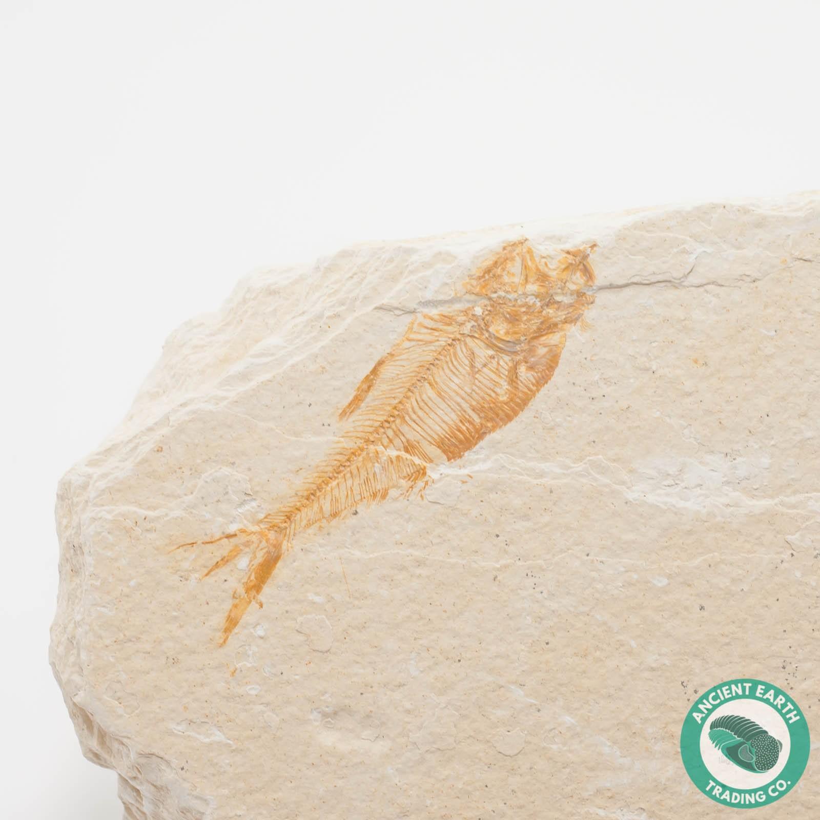 COOL Diplomystus Green River Fossil Fish - Wyoming