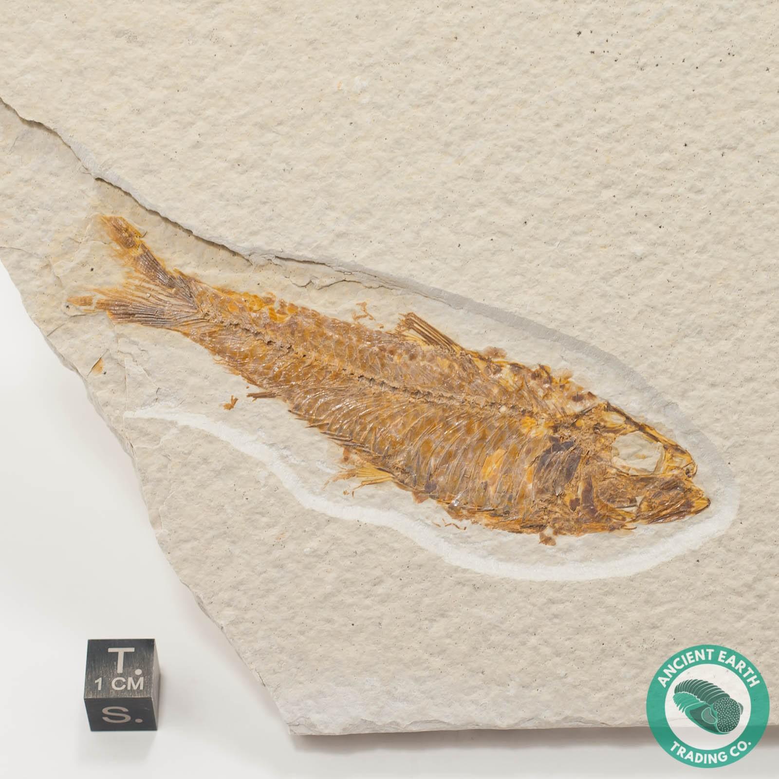 3.92 in Knightia eocaena Fossil Fish Green River - Wyoming