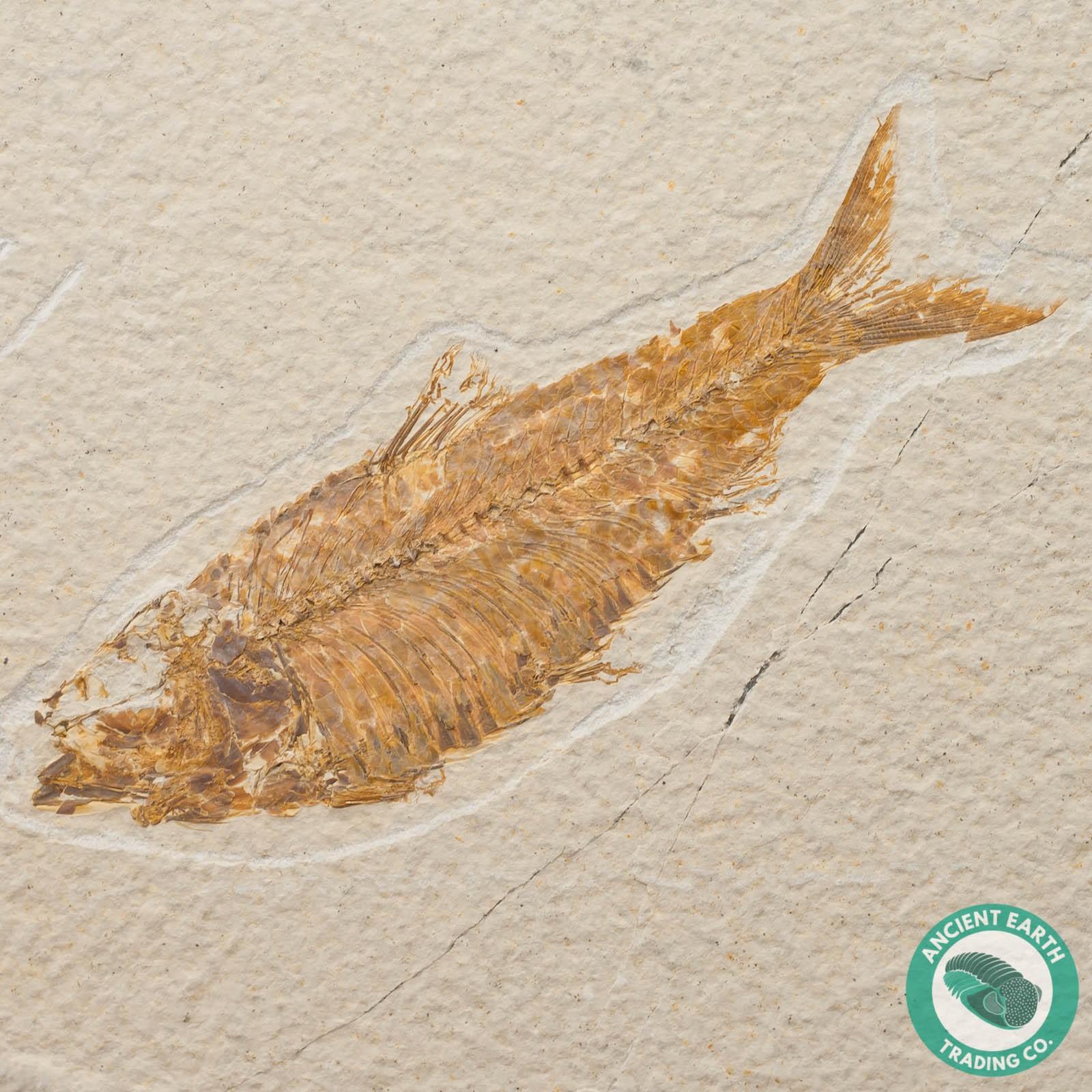 4.75 in Knightia alta Fossil Fish Green River - Wyoming