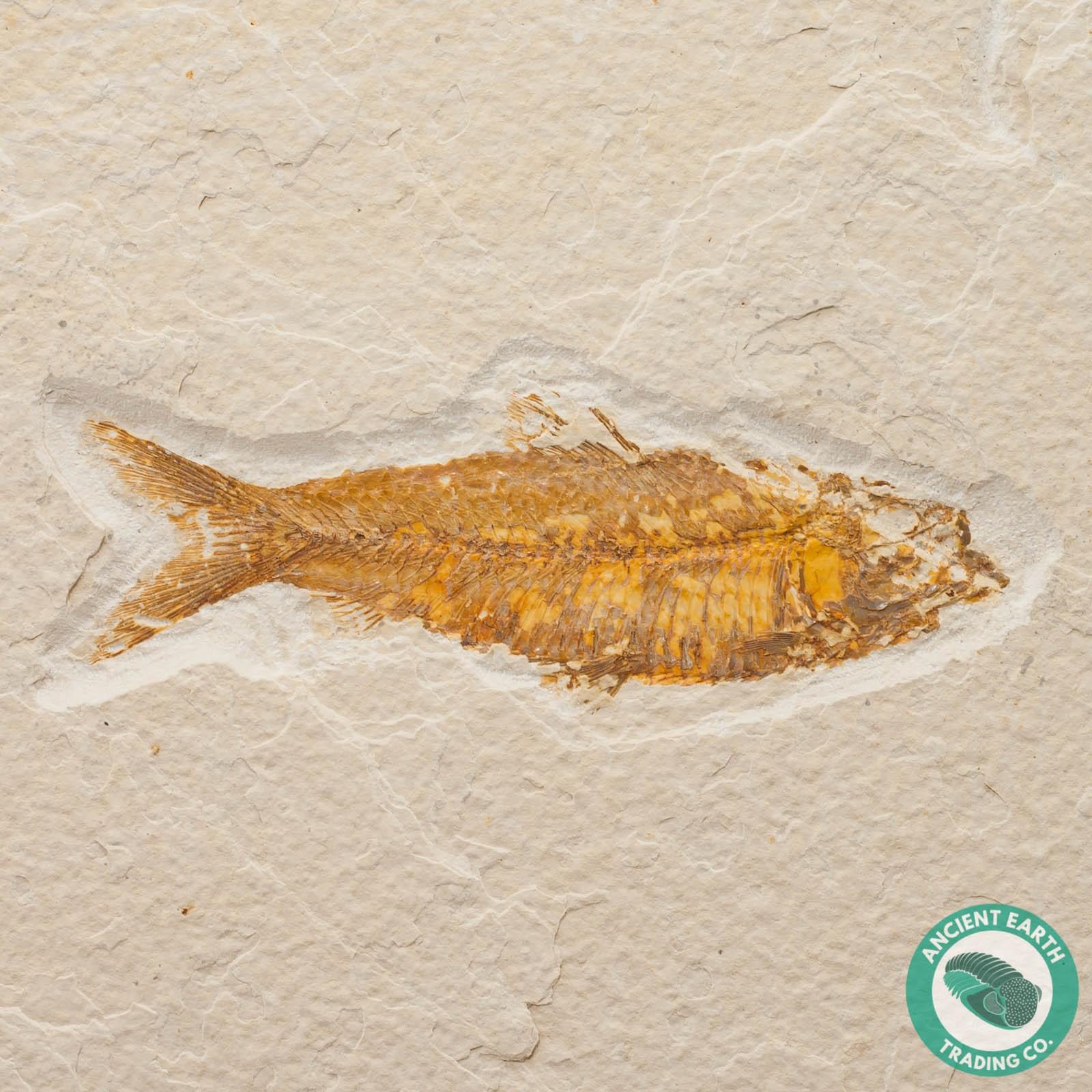 3 4 in knightia alta fossil fish green river wyoming green river