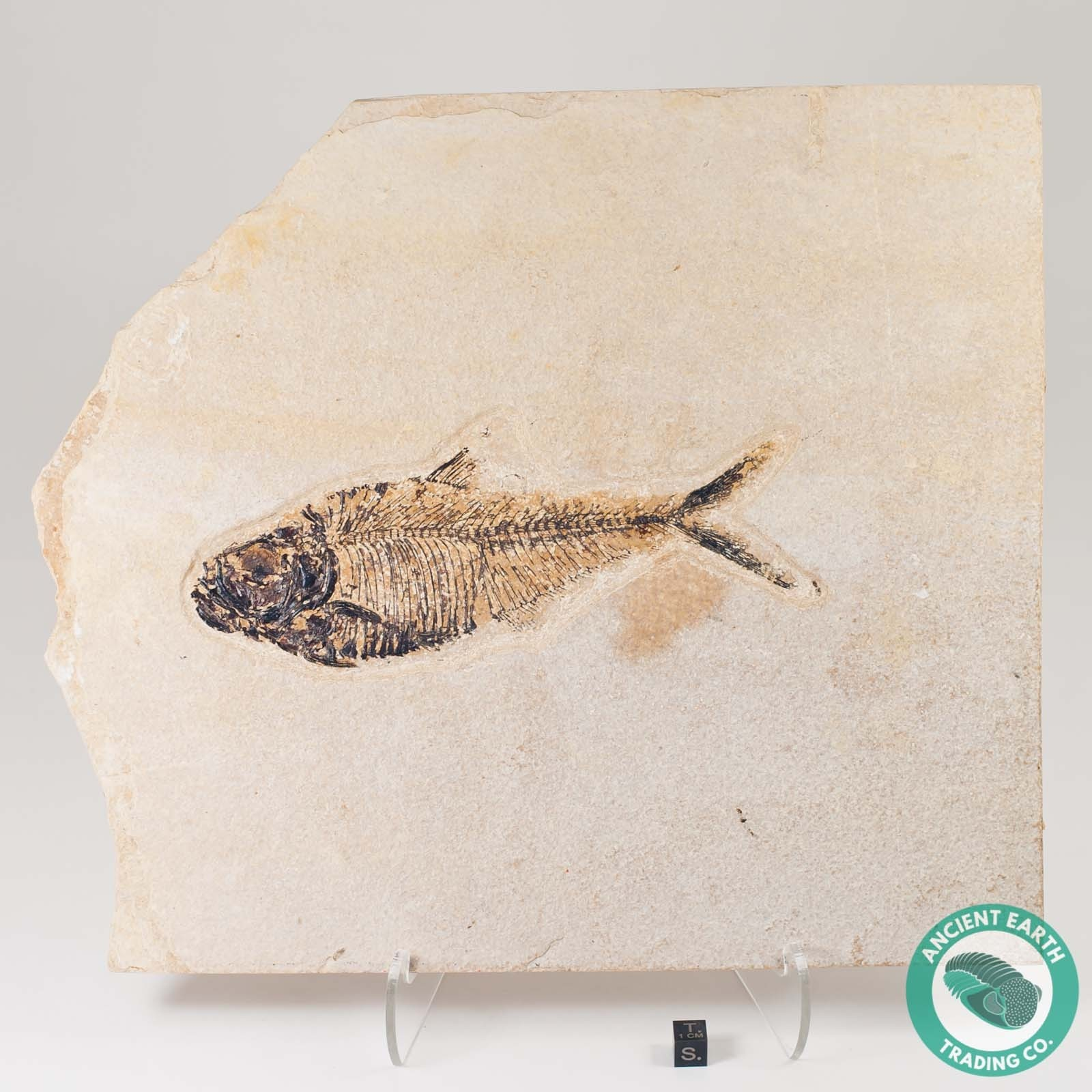 GIANT 7.25 in Diplomystus Green River Fossil Fish - Wyoming