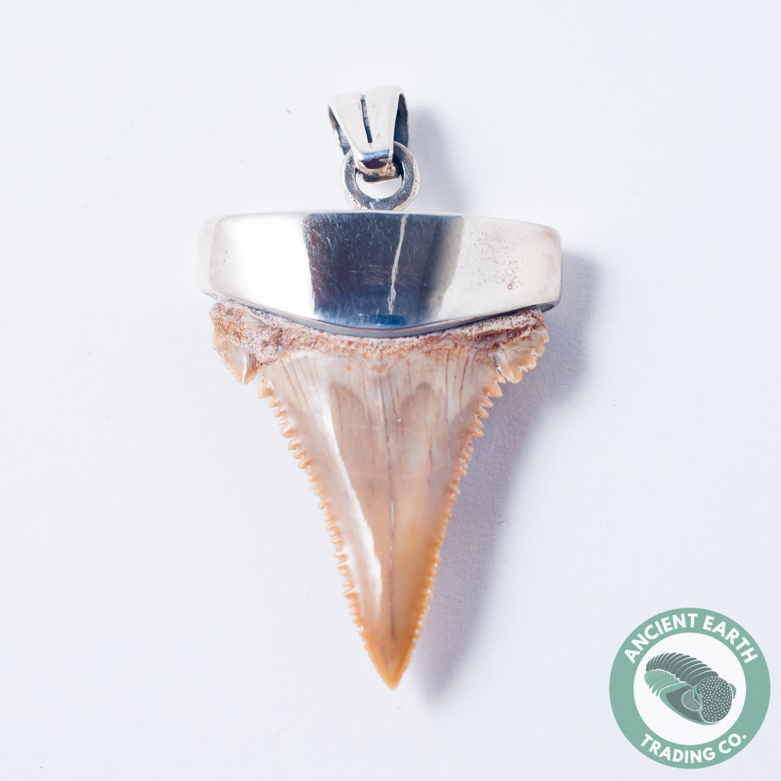 38 mm Fossil Palaeocarcharodon Pygmy Great White Shark Tooth Silver Pendant from Morocco