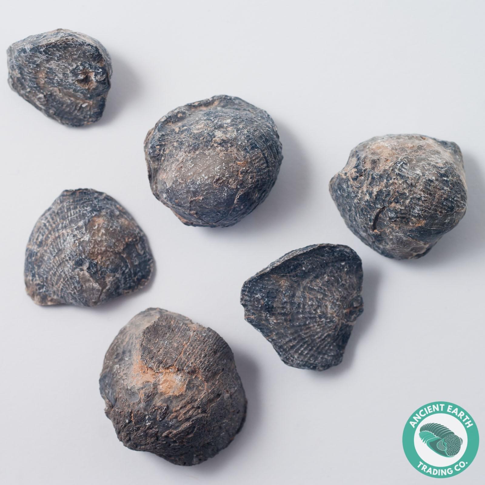 Brachiopod Fossil Atrypha sp. - 3 Pack - Morocco