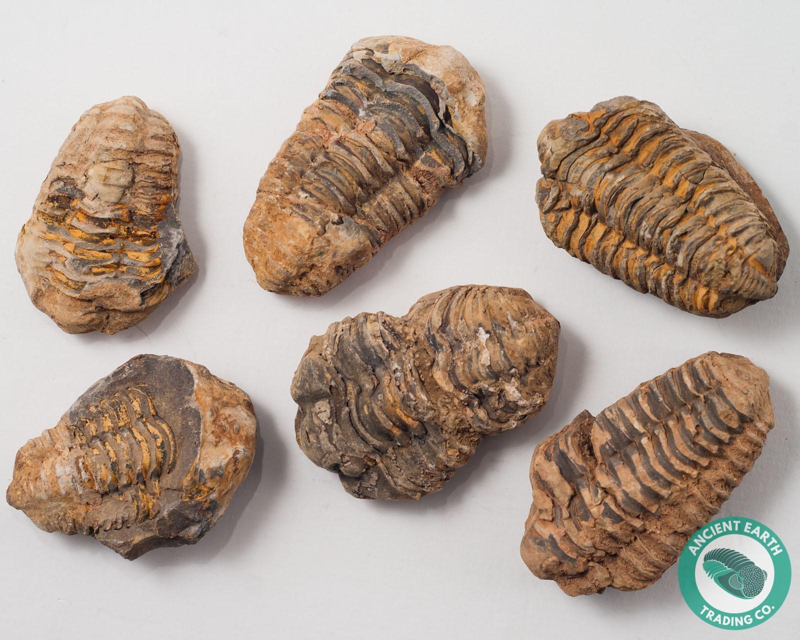 Flexicalymene Trilobite Fossil - 25 Pack - Morocco