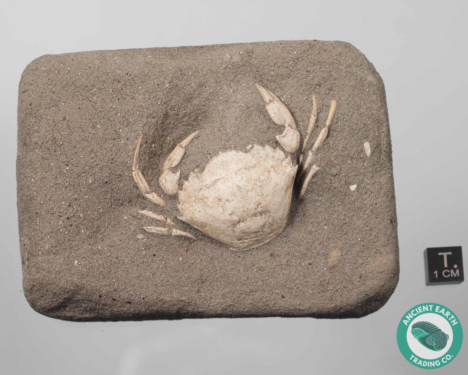 Portunites Swimming Crab Fossil from Italy