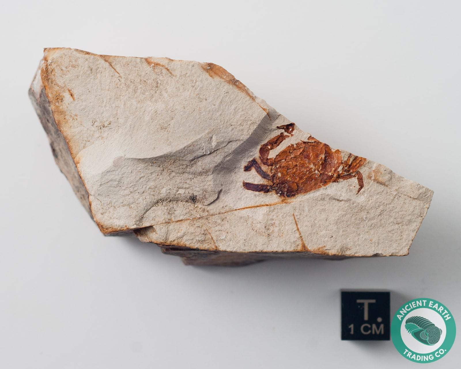 Bright Red Pea Crab Fossil Pinnixa - California