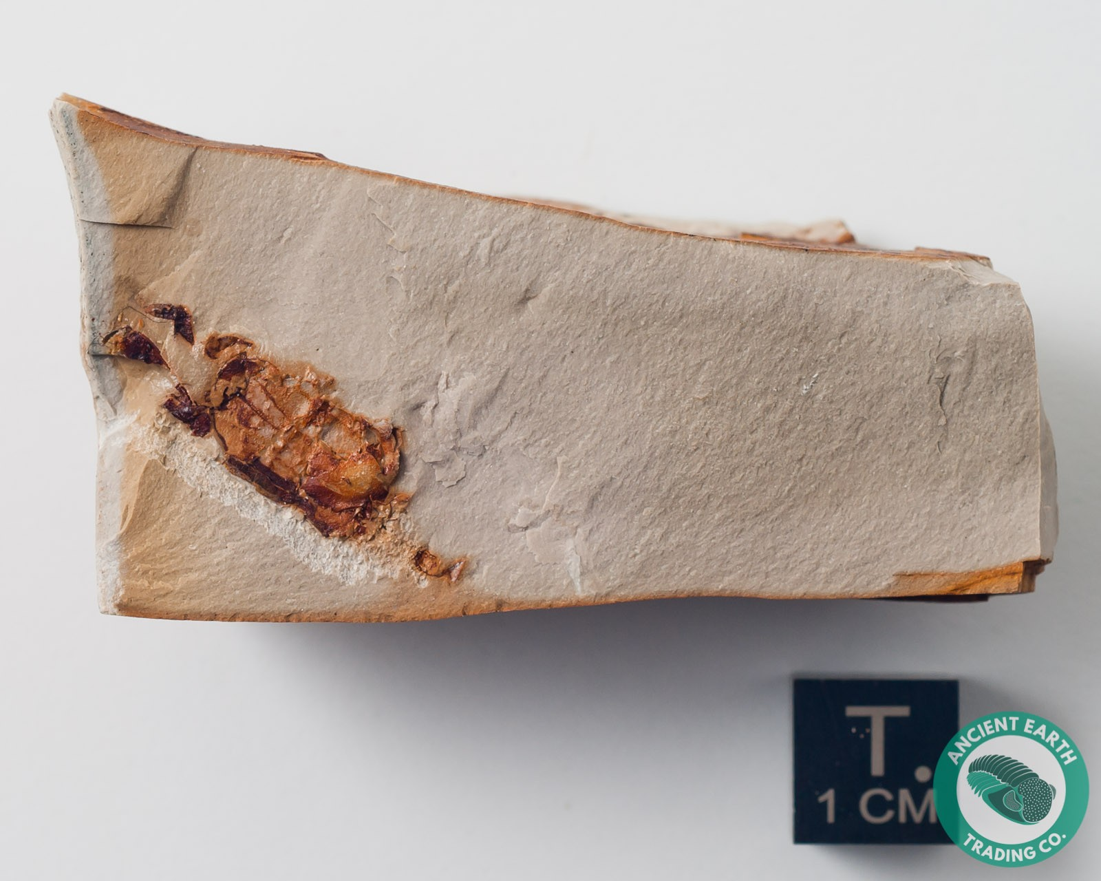 Pea Crab Fossil Pinnixa - California