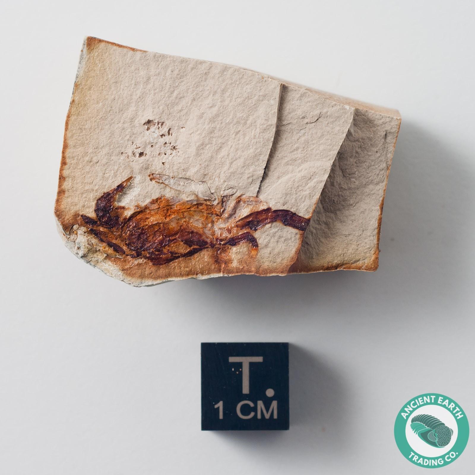 Pea Crab Fossil P. galliheri - California