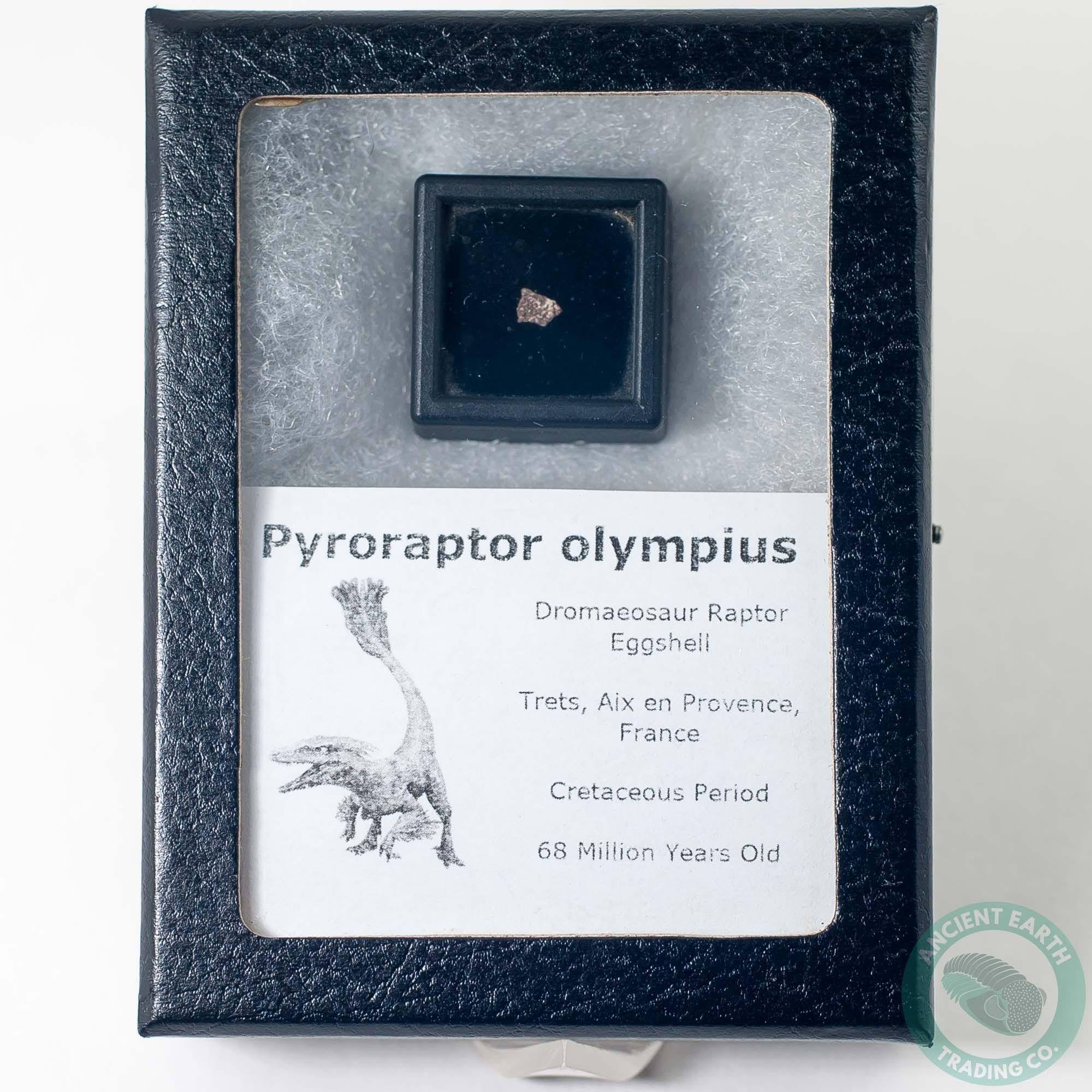Pyroraptor Dromaeosaur Raptor Dinosaur Egg Shell Fossil 3 - France