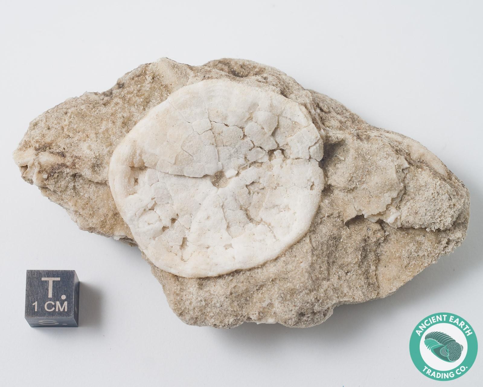 Large Sand Dollar Fossil Astrodapsis antiselli - California