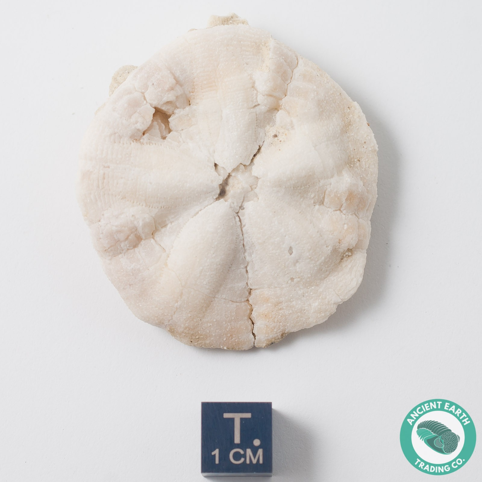 Chalcedony Sand Dollar Fossil Astrodapsis - California