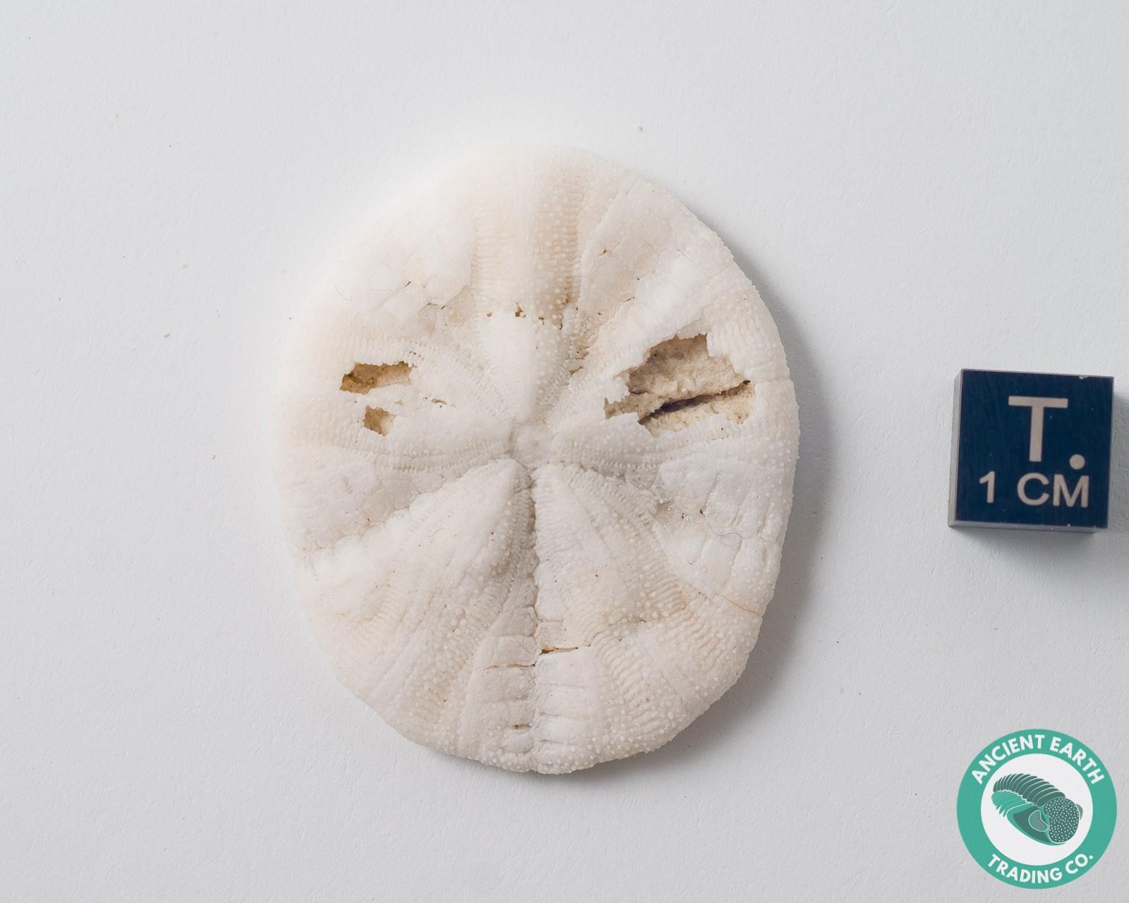 Sand Dollar Fossil Astrodapsis - California