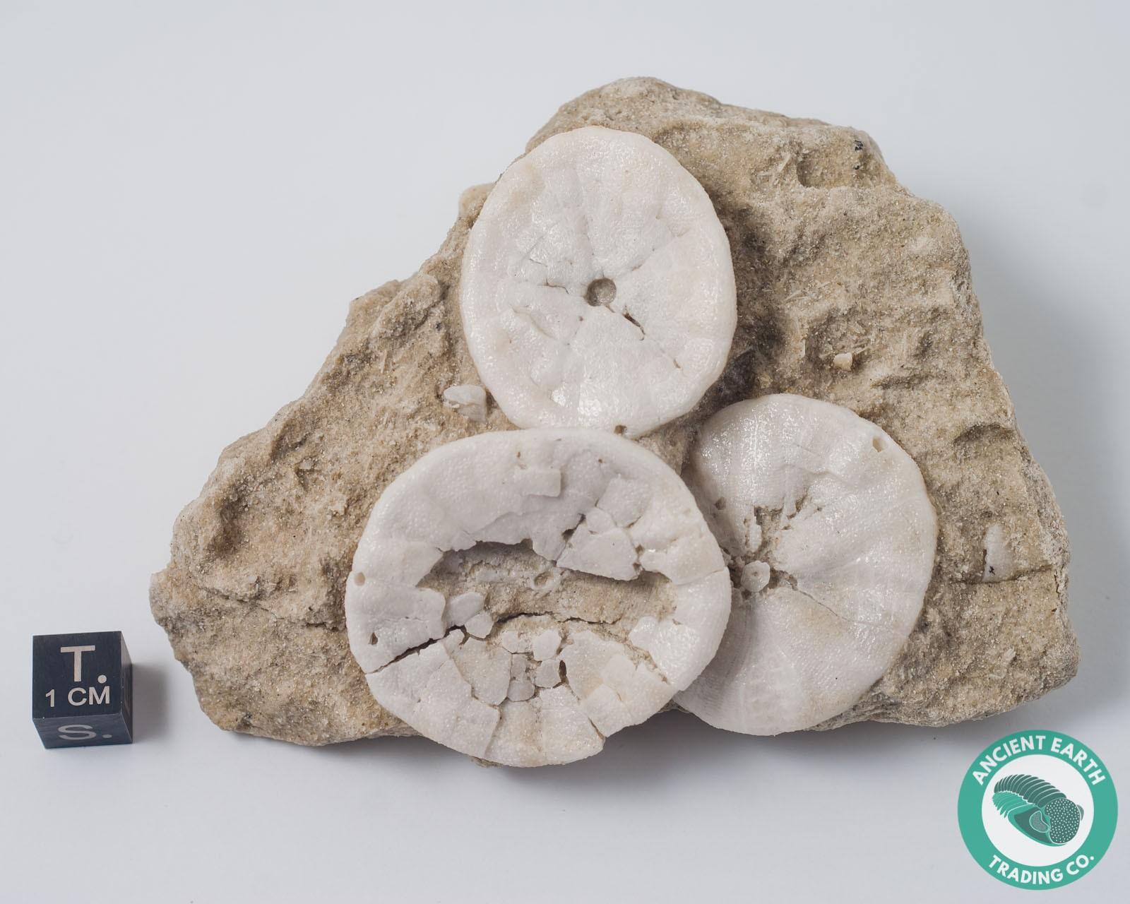 3 Sand Dollar Fossils on Matrix Astrodapsis - California