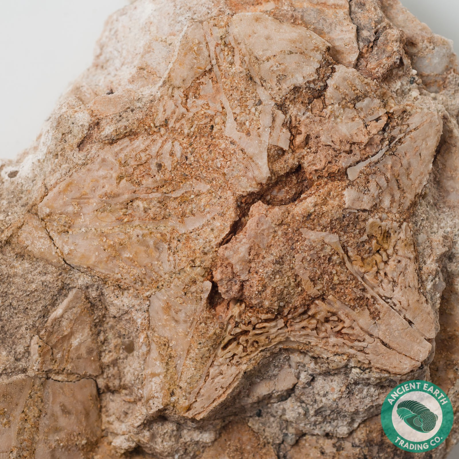 3.22 in. Vaquerosella Star Shape Sand Dollar Fossil on Matrix - California
