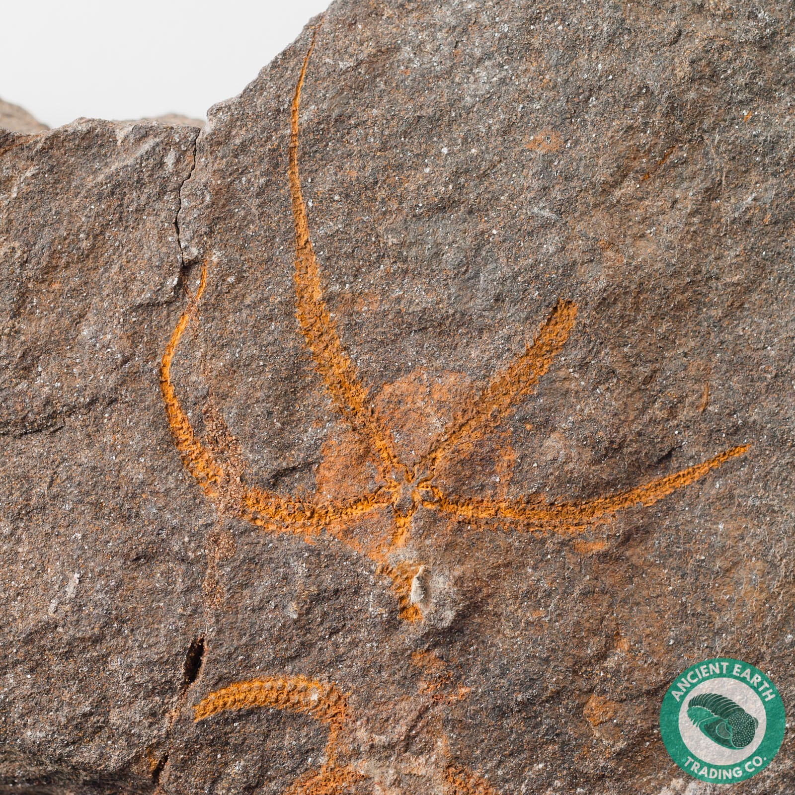 2.13 in. Brittle Star Starfish Fossil Protaster - Morocco
