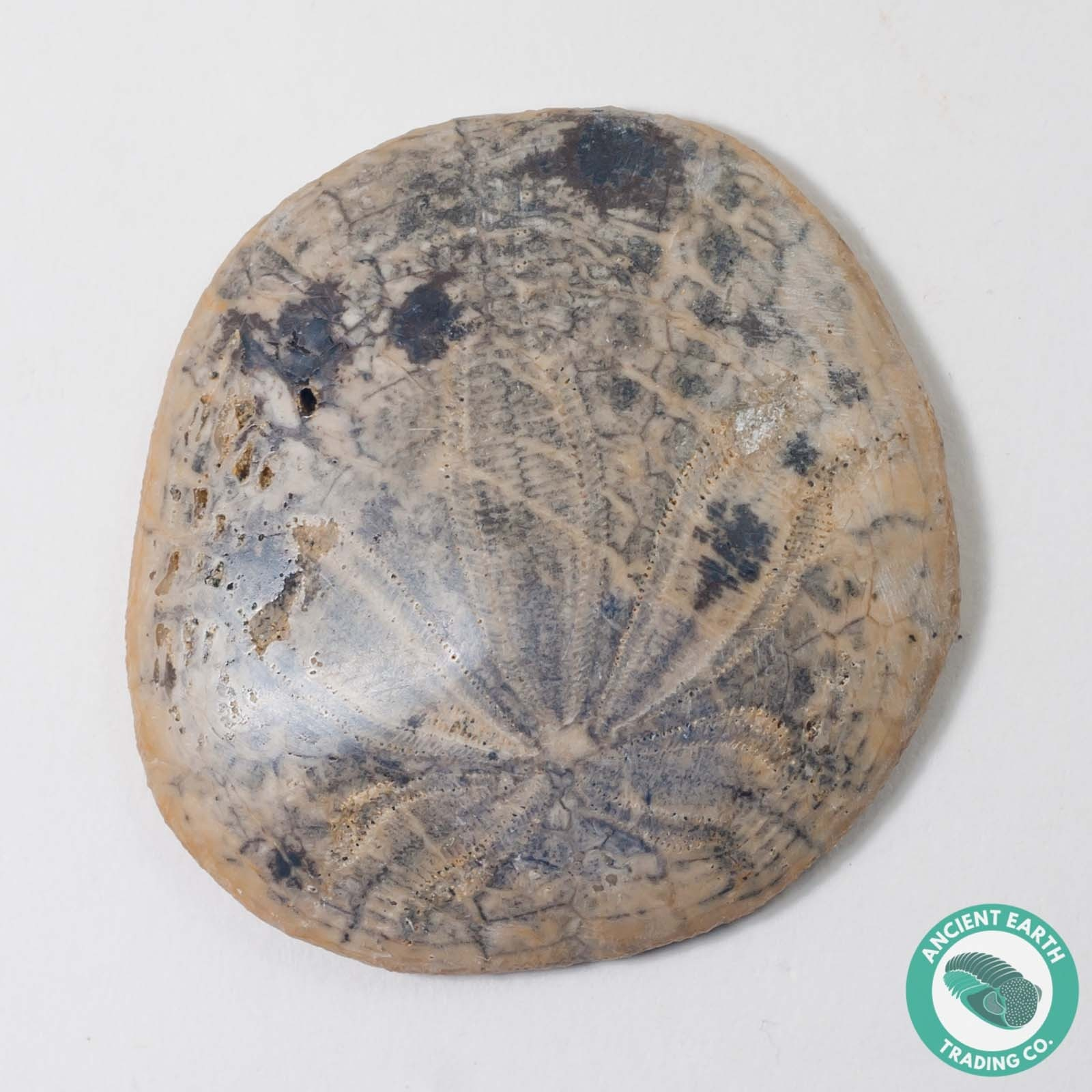 1.8 in Polished Sand Dollar Fossil Dendraster gibbsii - California