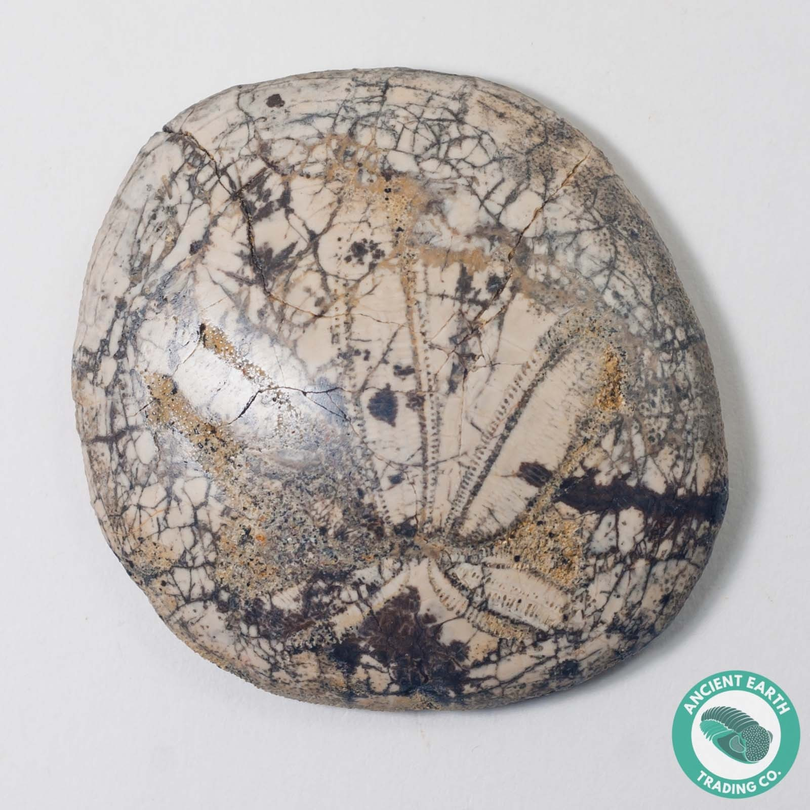 2.09 in Polished Fossil Sand Dollar Dendraster gibbsii - California