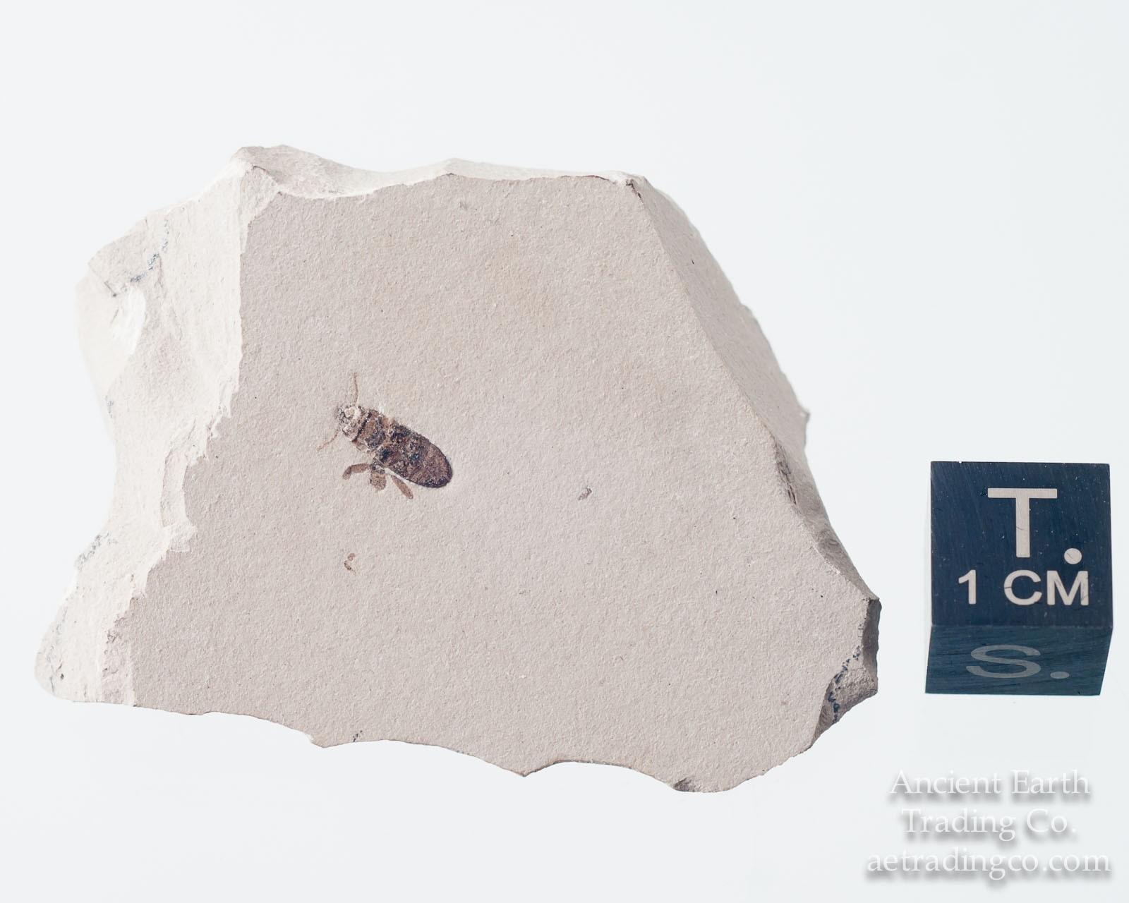 Fossil Jewel Beetle Buprestidae from Green River Fm. Colorado
