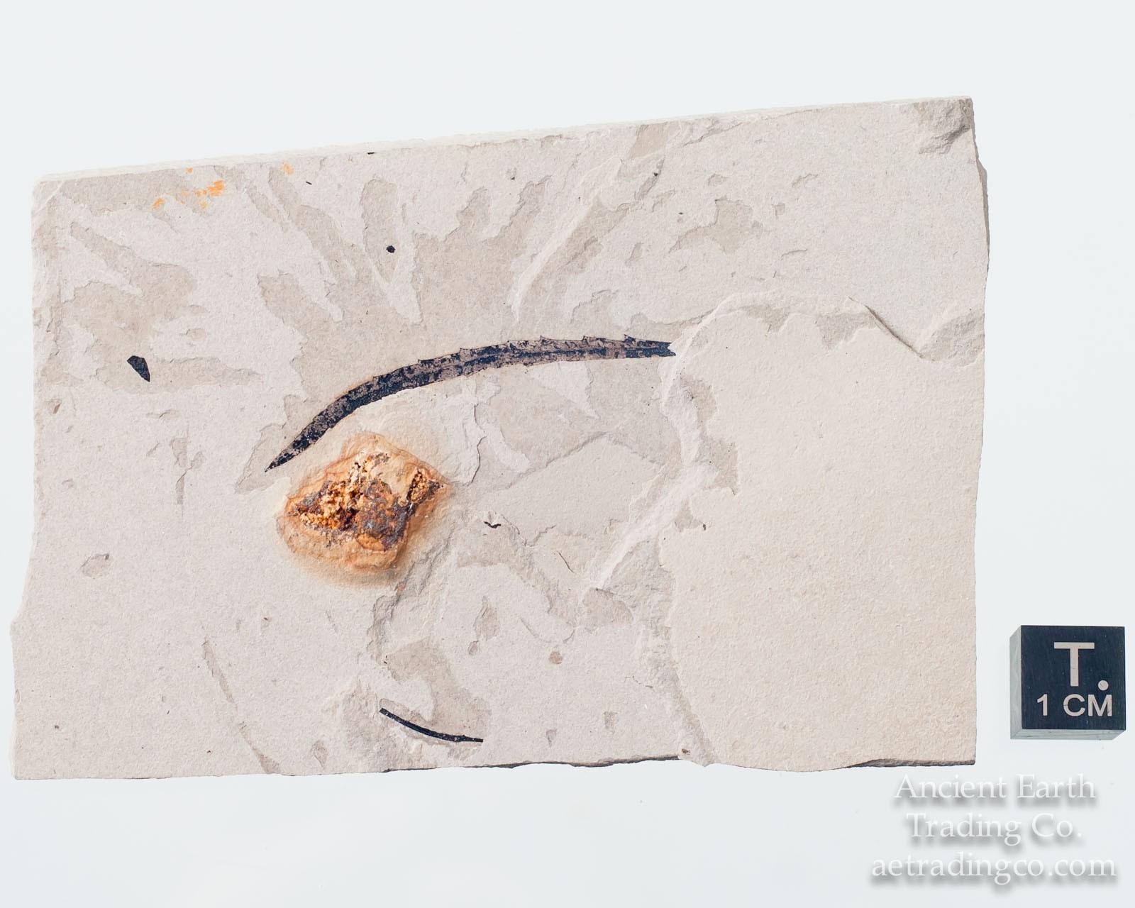 Rare Eocene Araliophyllum quina Leaf Fossil from Hawes Quarry Colorado