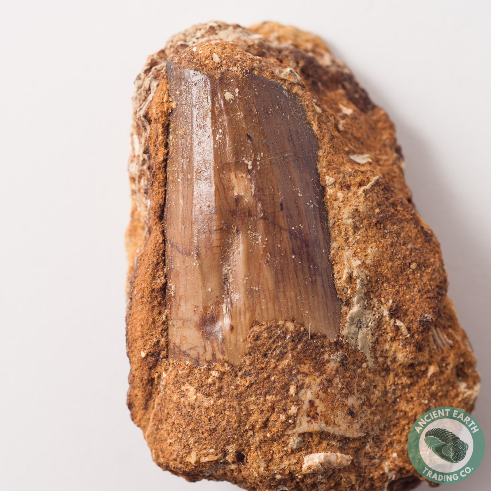 1.6 in Spinosaurus Tooth in Matrix - Morocco