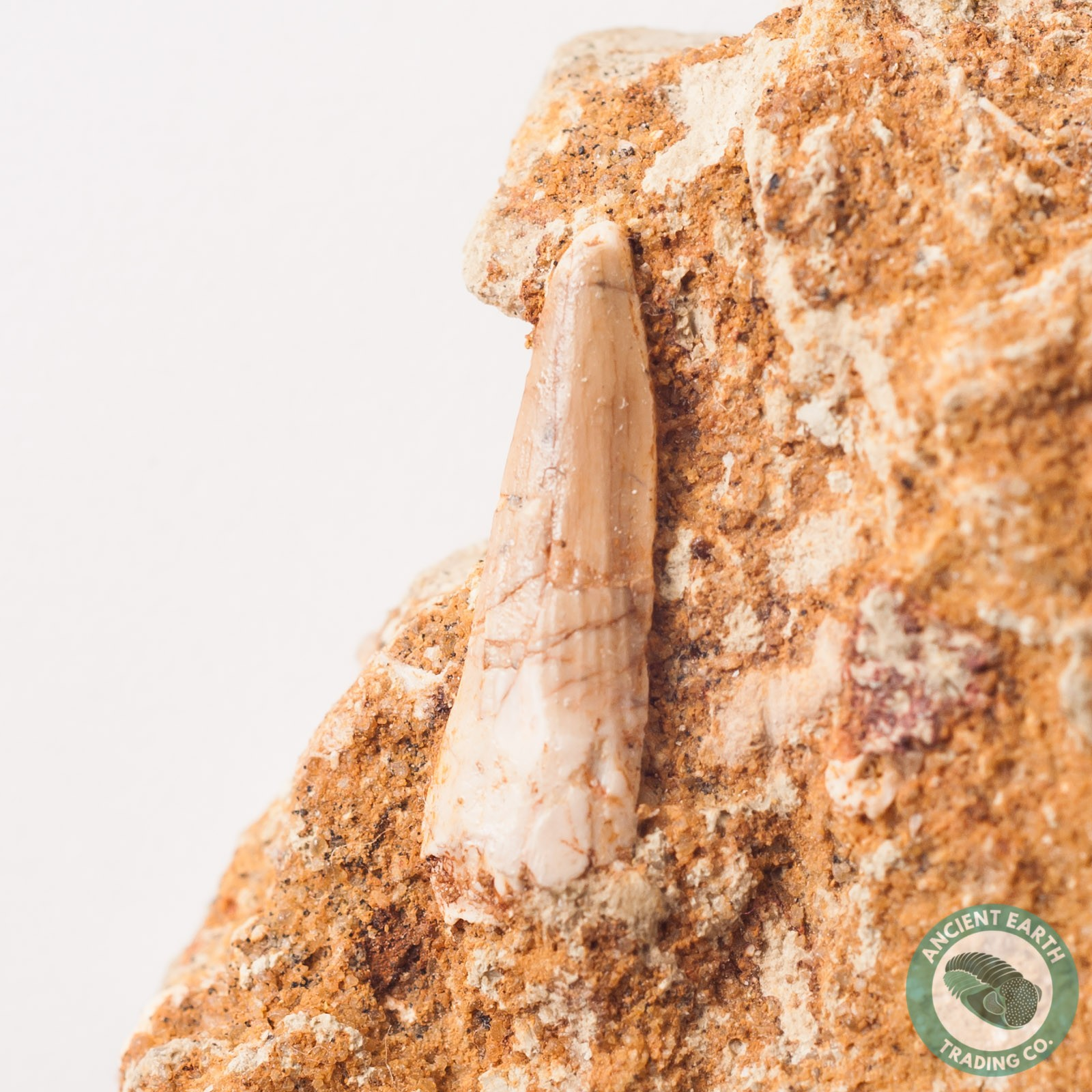.85 in Spinosaurus Tooth in Matrix - Morocco