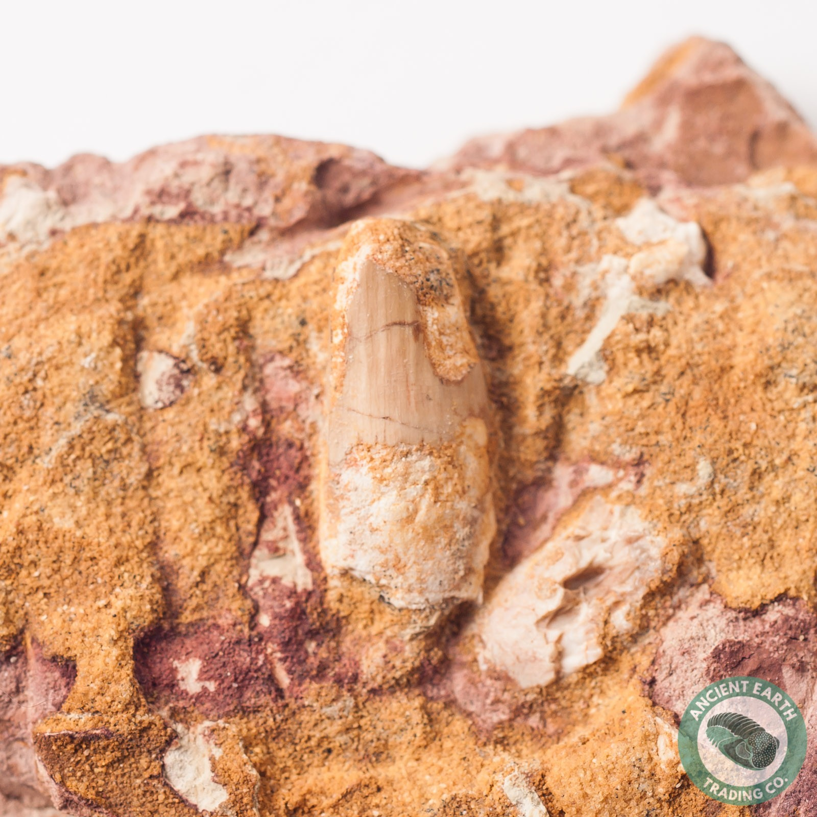 .83 in Spinosaurus Tooth in Matrix - Morocco