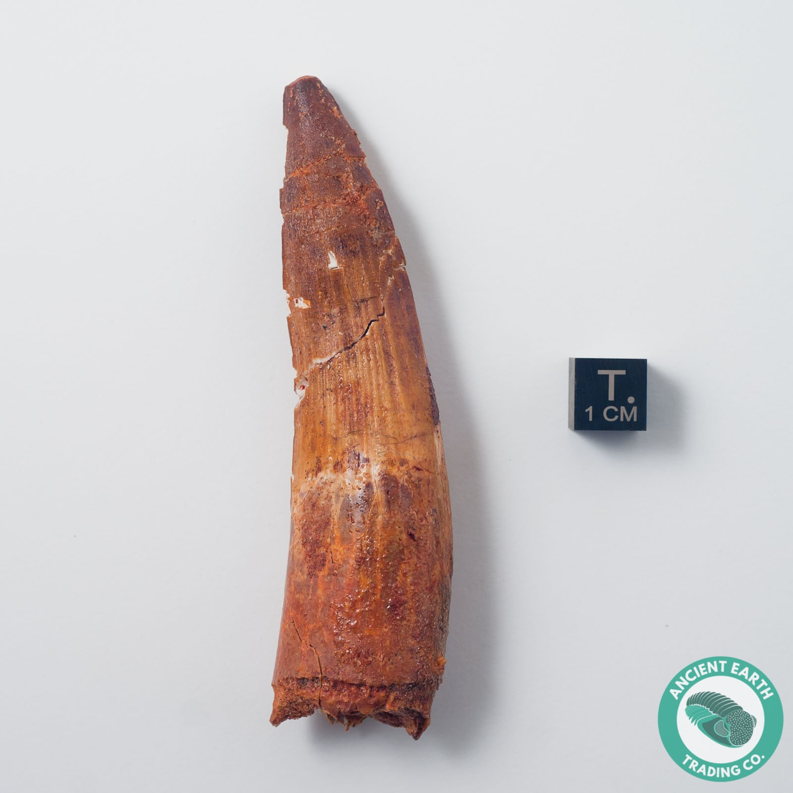 3.7 in Pathological Bent Spinosaurus Tooth - Morocco