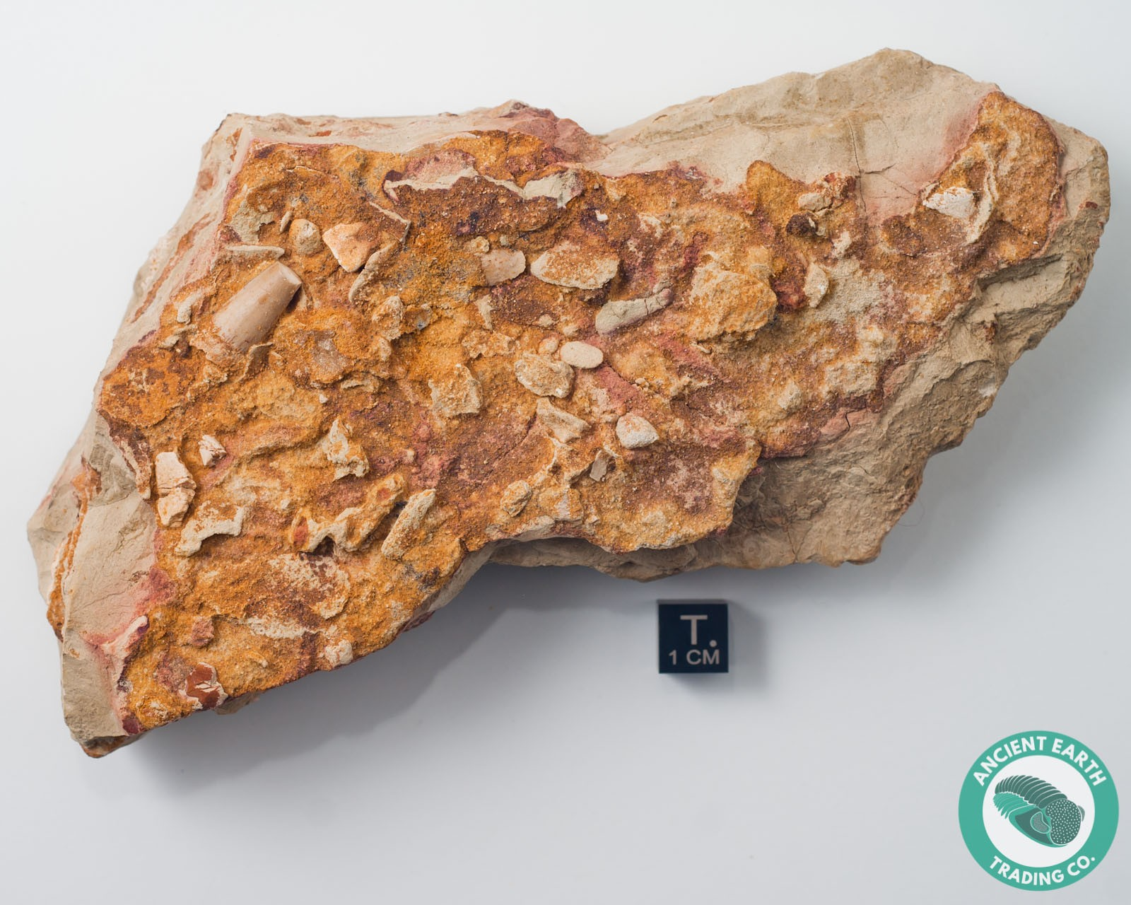 0.68 in Spinosaurus Tooth on Matrix - Morocco