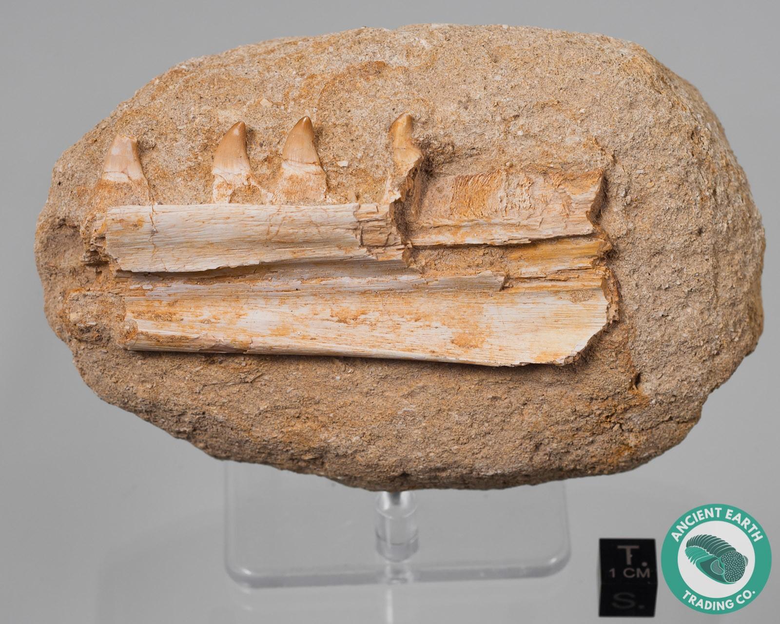 Halisaurus Mosasaur Jaw with 4 Teeth
