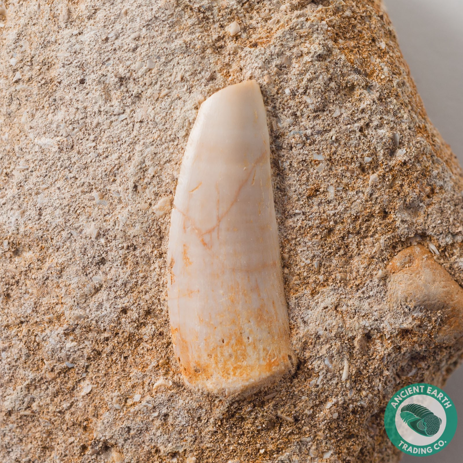 1.12 in. Enchodus Fish Saber Tooth - Morocco