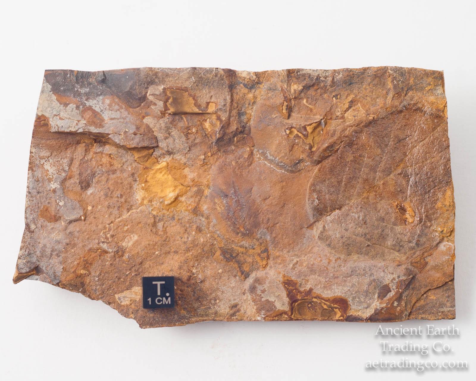 Viburnum antiquum Leaf Paleocene Fossil from Almont, ND