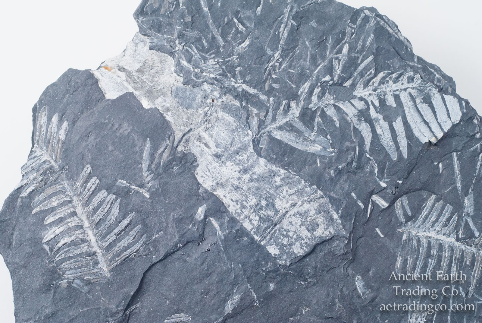 Seed Fern Branch with Multiple Leaf Fossils from Pennsylvania USA