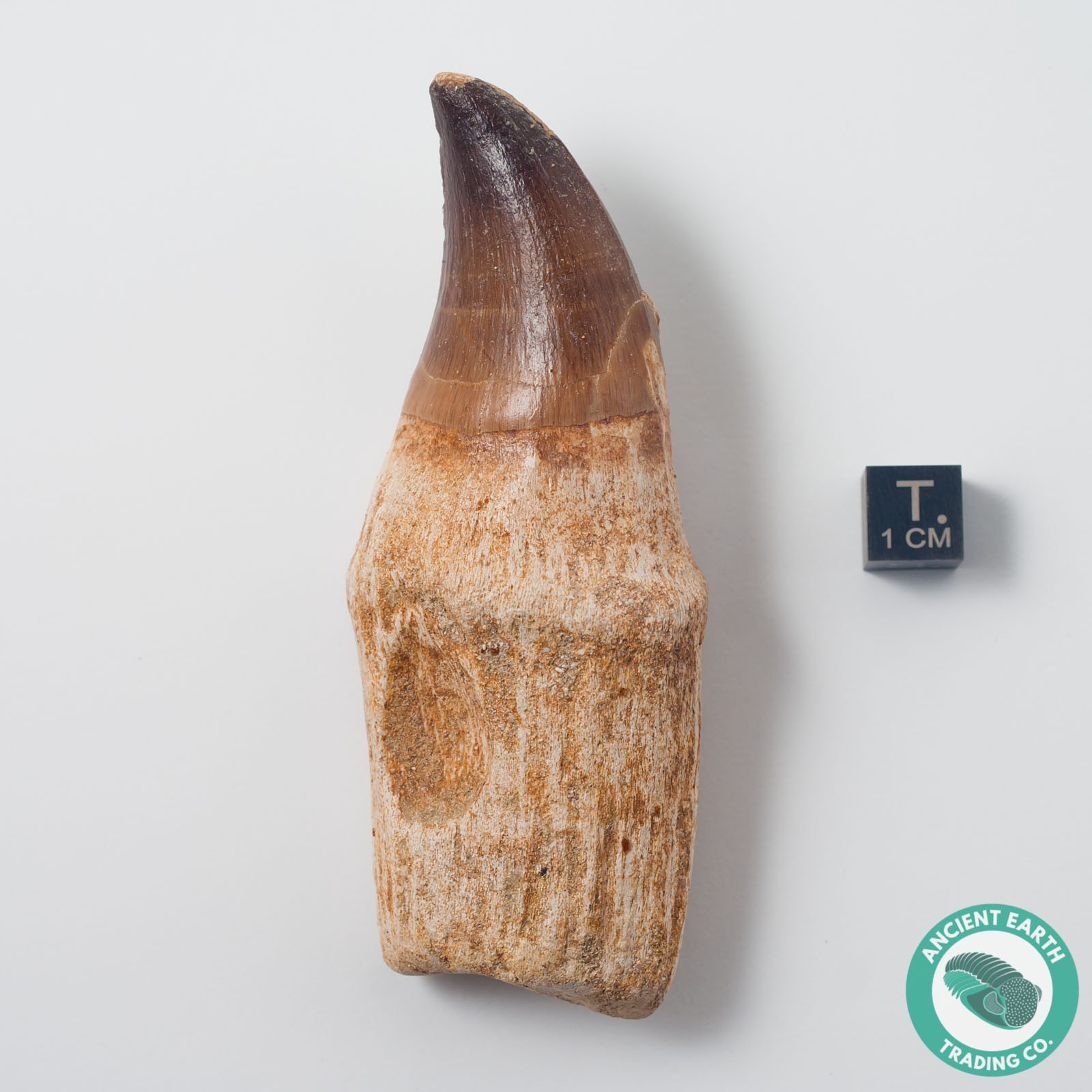 Rooted Mosasaur Prognathodon Tooth - Morocco