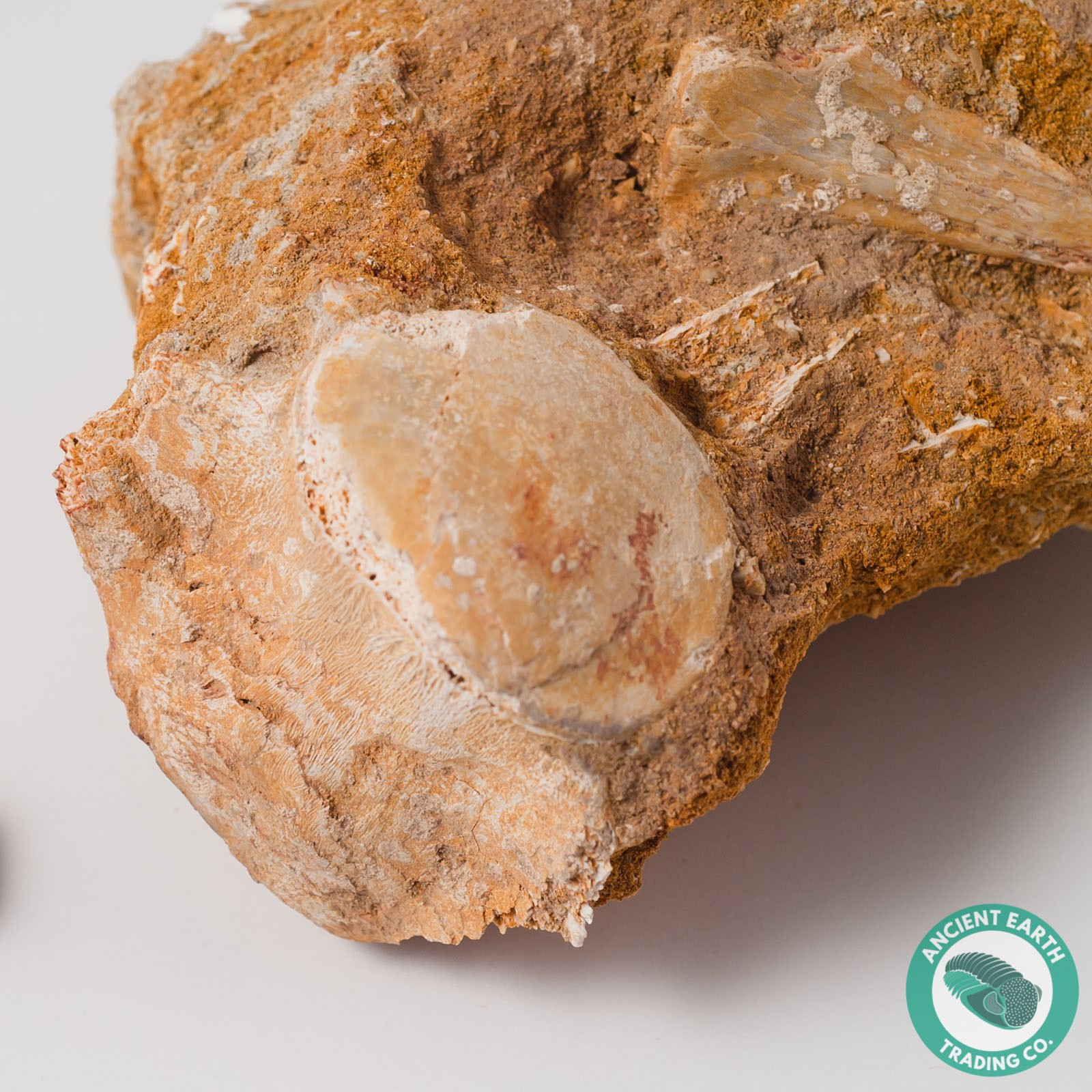2.02 in. Mosasaur Fossil Vertebra Backbone - Morocco