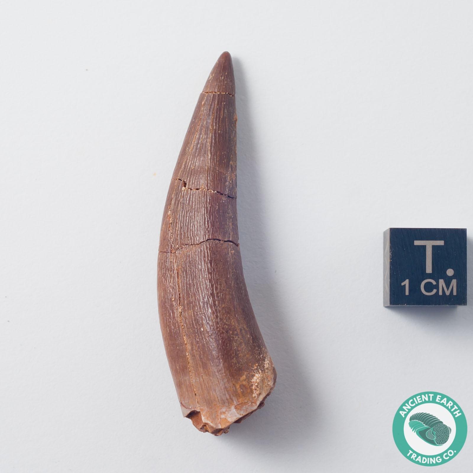 2.01 in. Plesiosaur Zarafasaura Fossil Tooth - Morocco