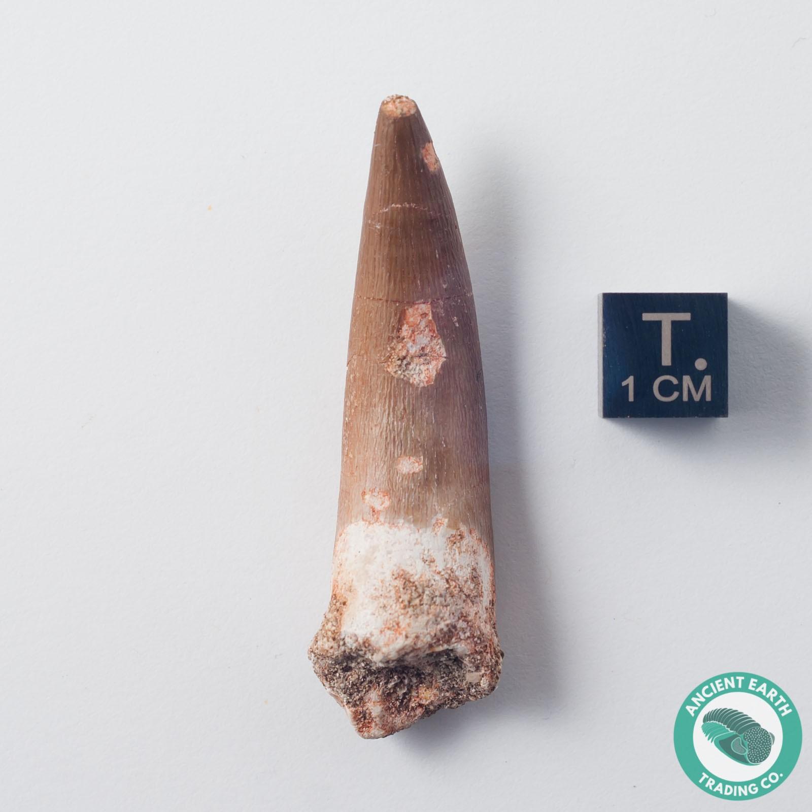 2.06 in. Plesiosaur Zarafasaura Fossil Tooth - Morocco