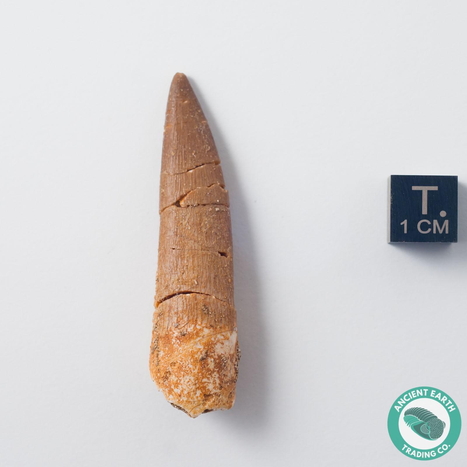 Bargain 2.10 in. Plesiosaur Zarafasaura Fossil Tooth - Morocco